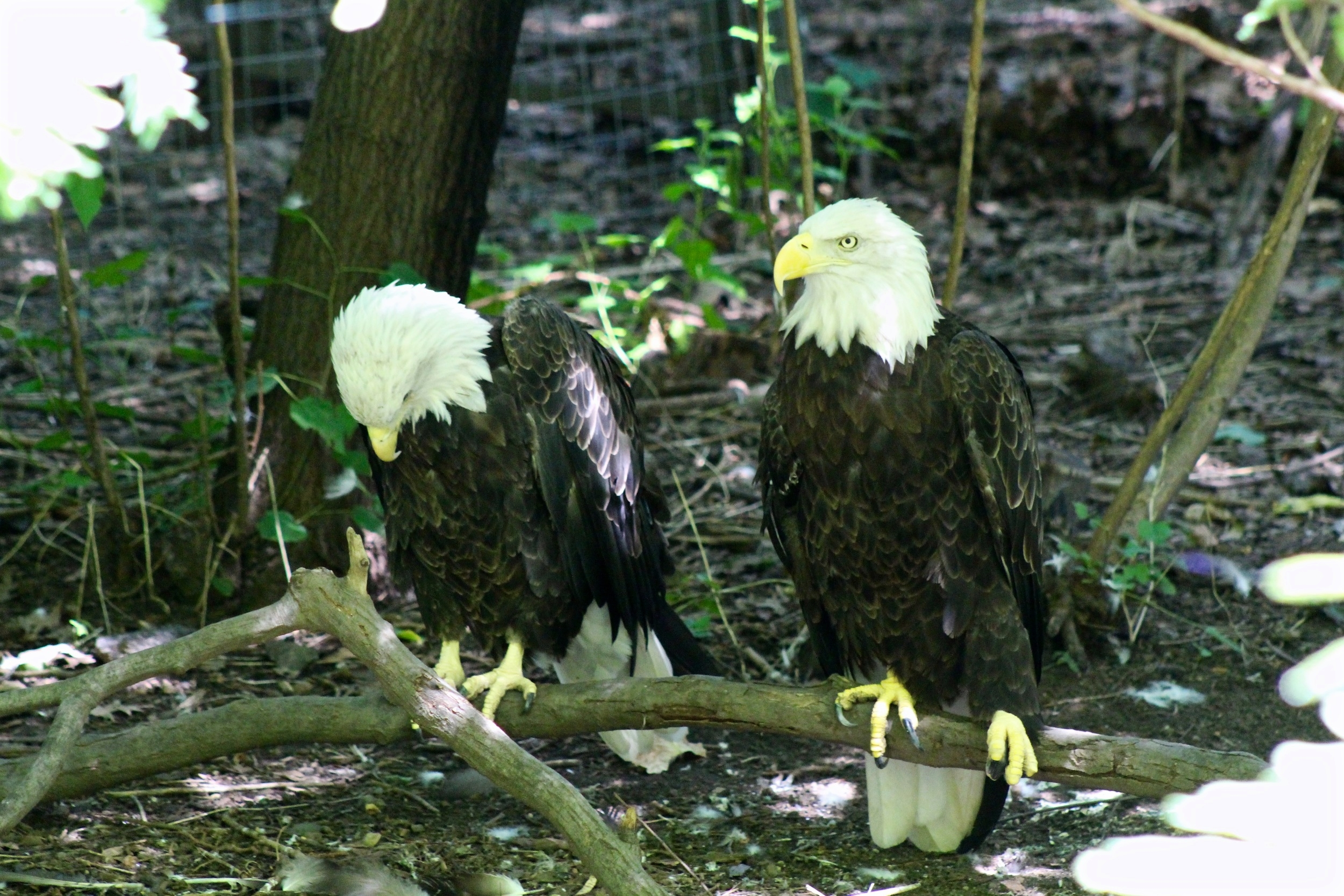 queens zoo bald eagle.jpg