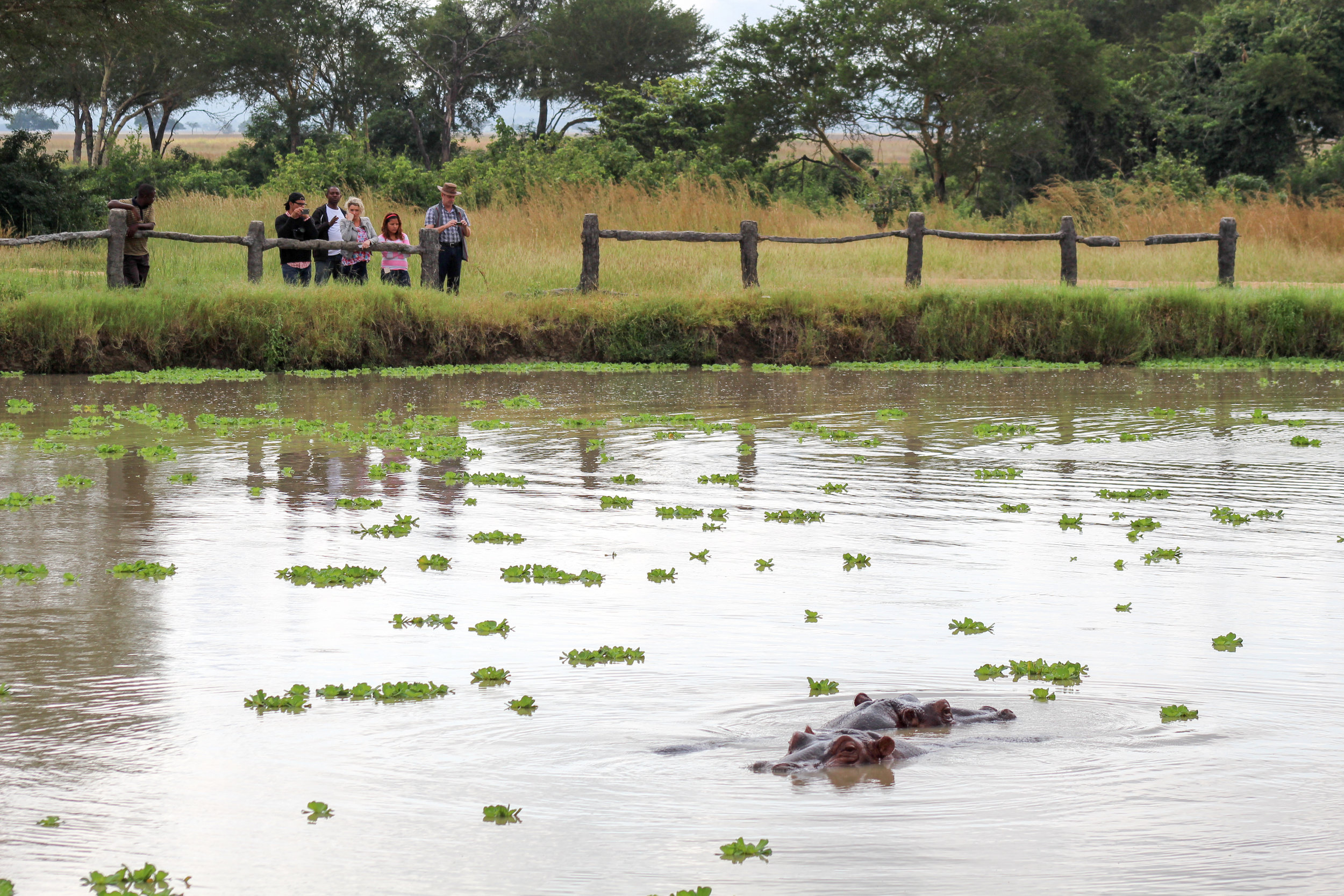 A family and safari guide look on as hippopotamus swim in a pond