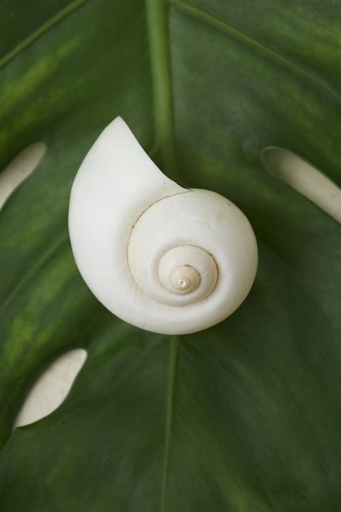 Swirlshell1.jpg