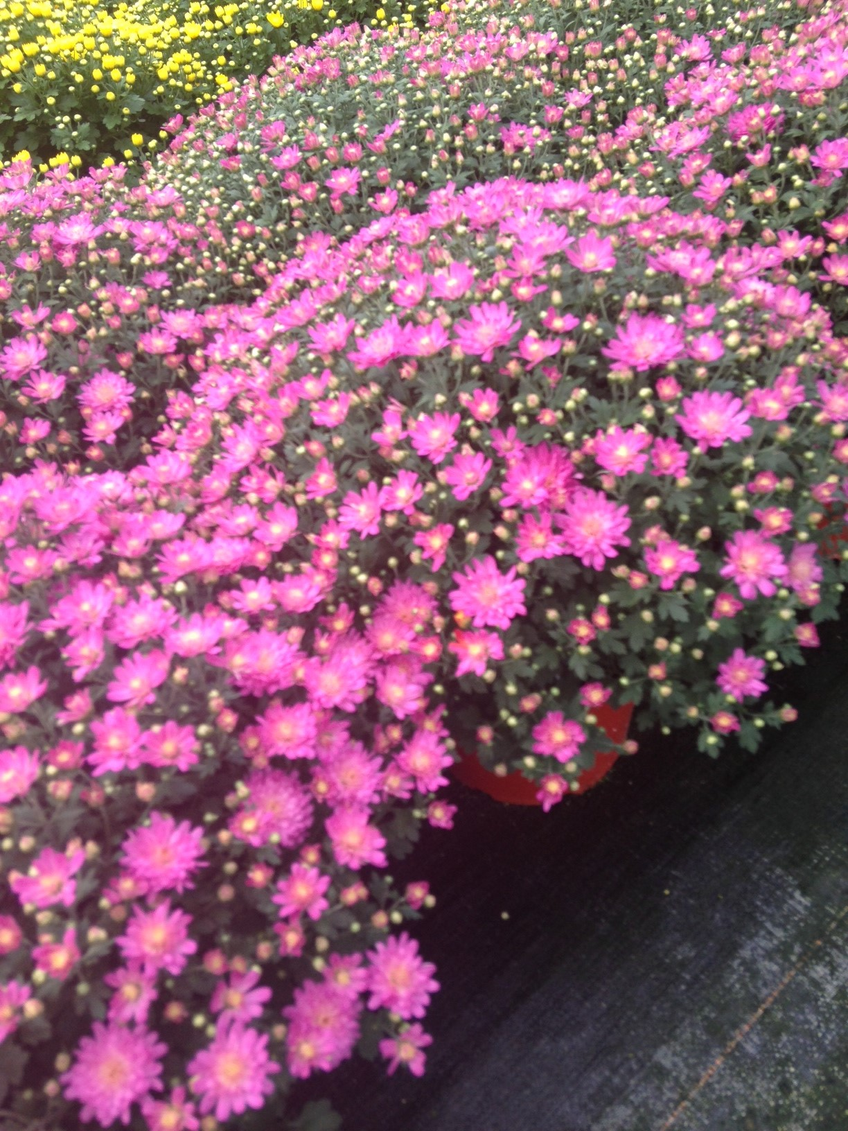 Pink Mums 1.jpg