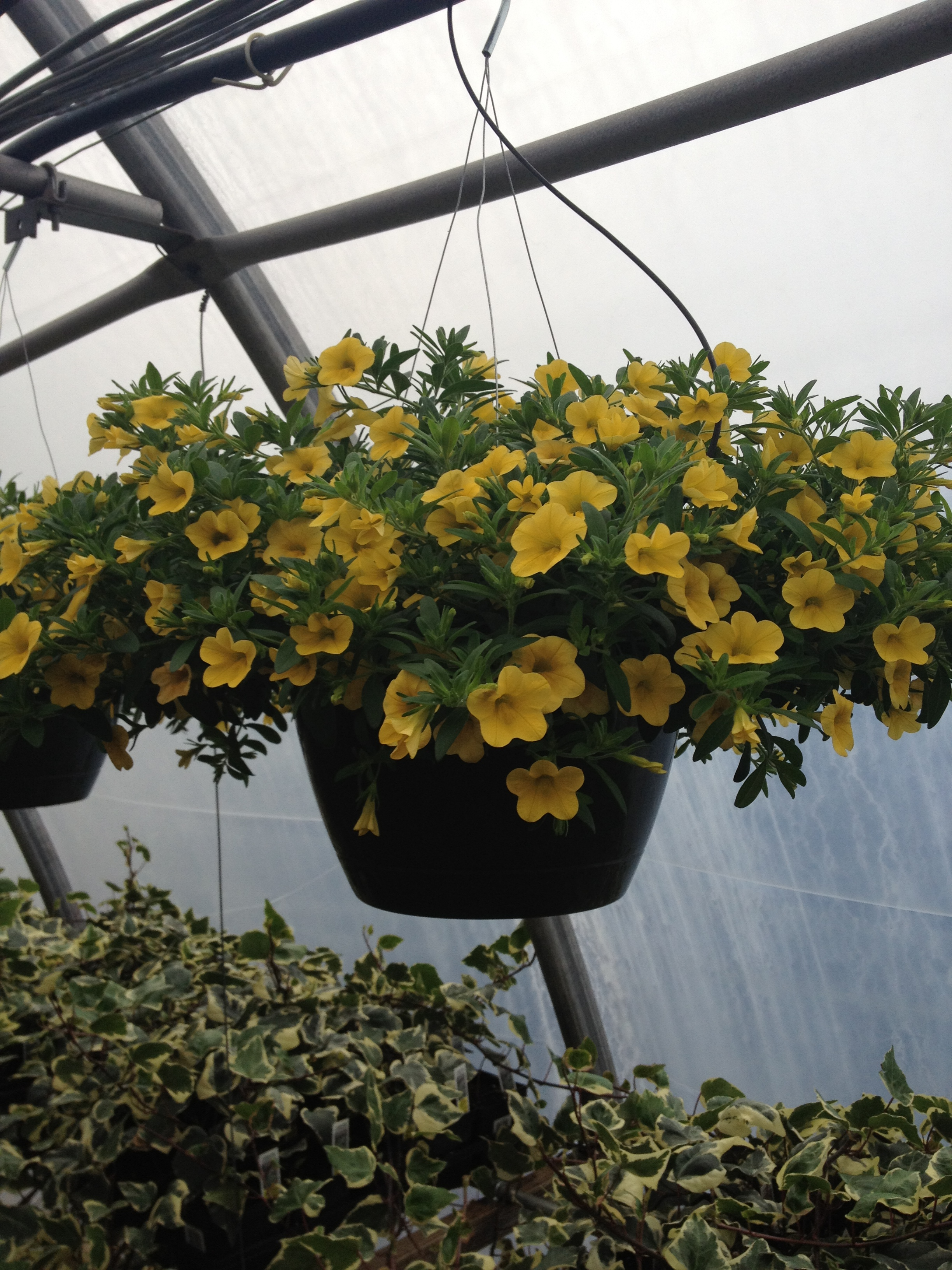 "At Schlegel Greenhouse we feature Calibrachoa in a large variety of items. They can be bought in 4.5"" pots, 8"" sun combo planters, 12"" sun combo planters, 10"" hanging baskets (in mixed colors), and in 10"", 12"", and 16"" combination baskets. They are an excellent performer through May and June and a very consistent seller."