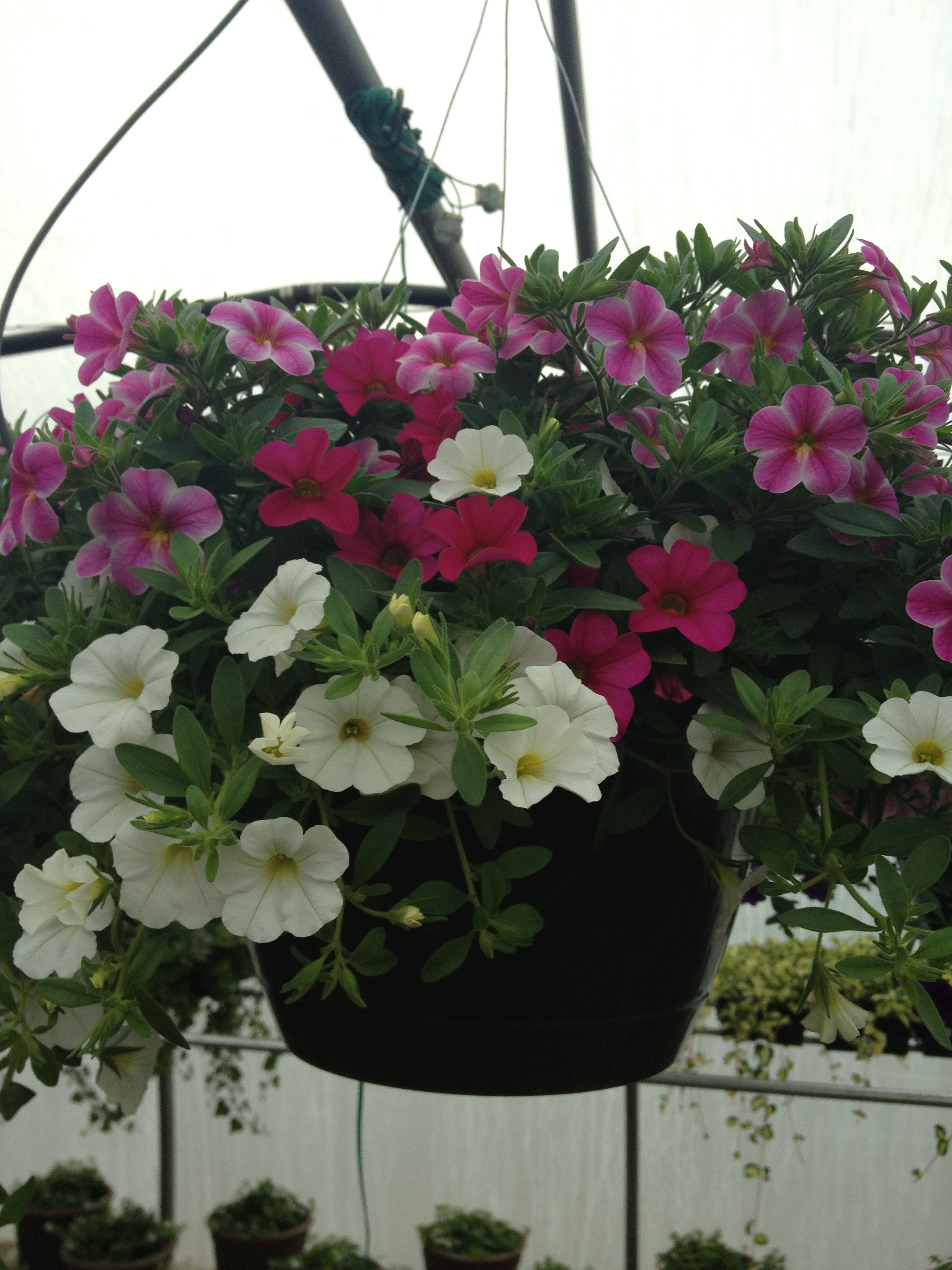 "10"" Mixed Calibrachoa Basket"
