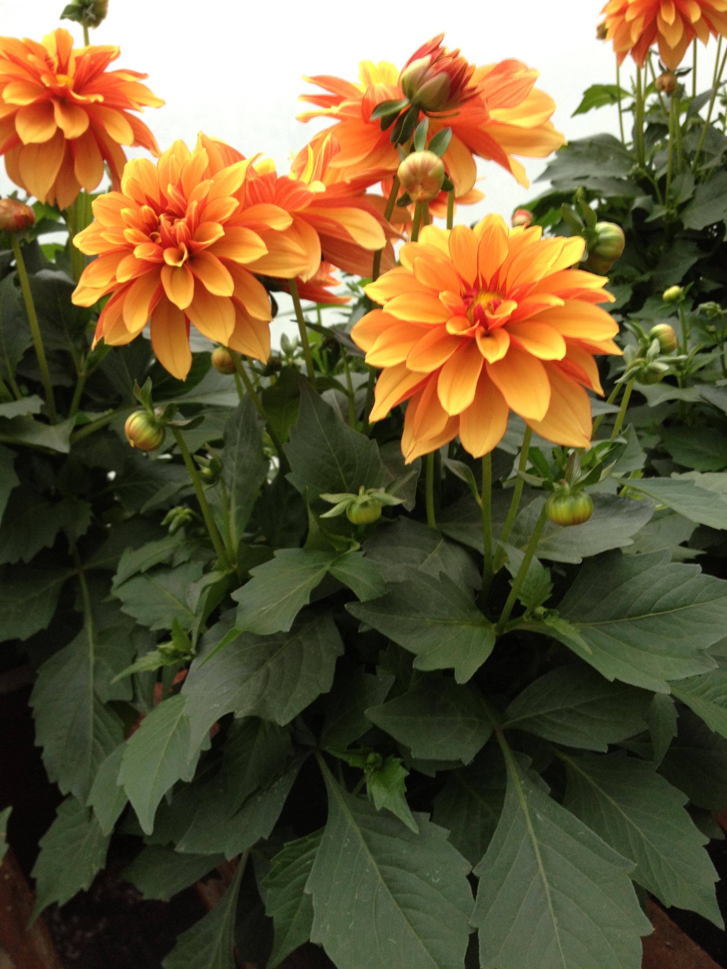 """Orange 4.5"""" Dahlia"""