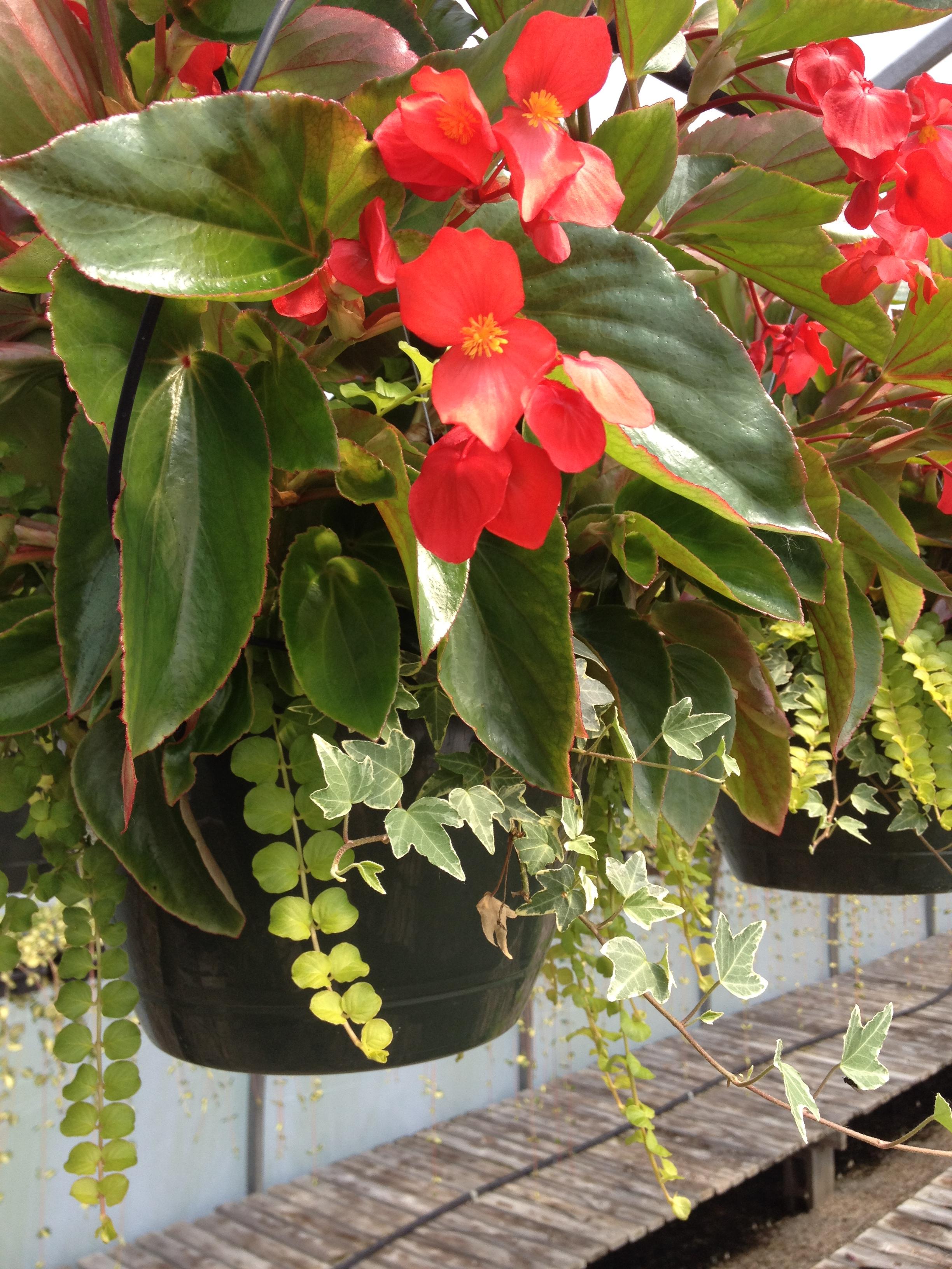 """4.5"""" Red Dragonwing Begonia"""