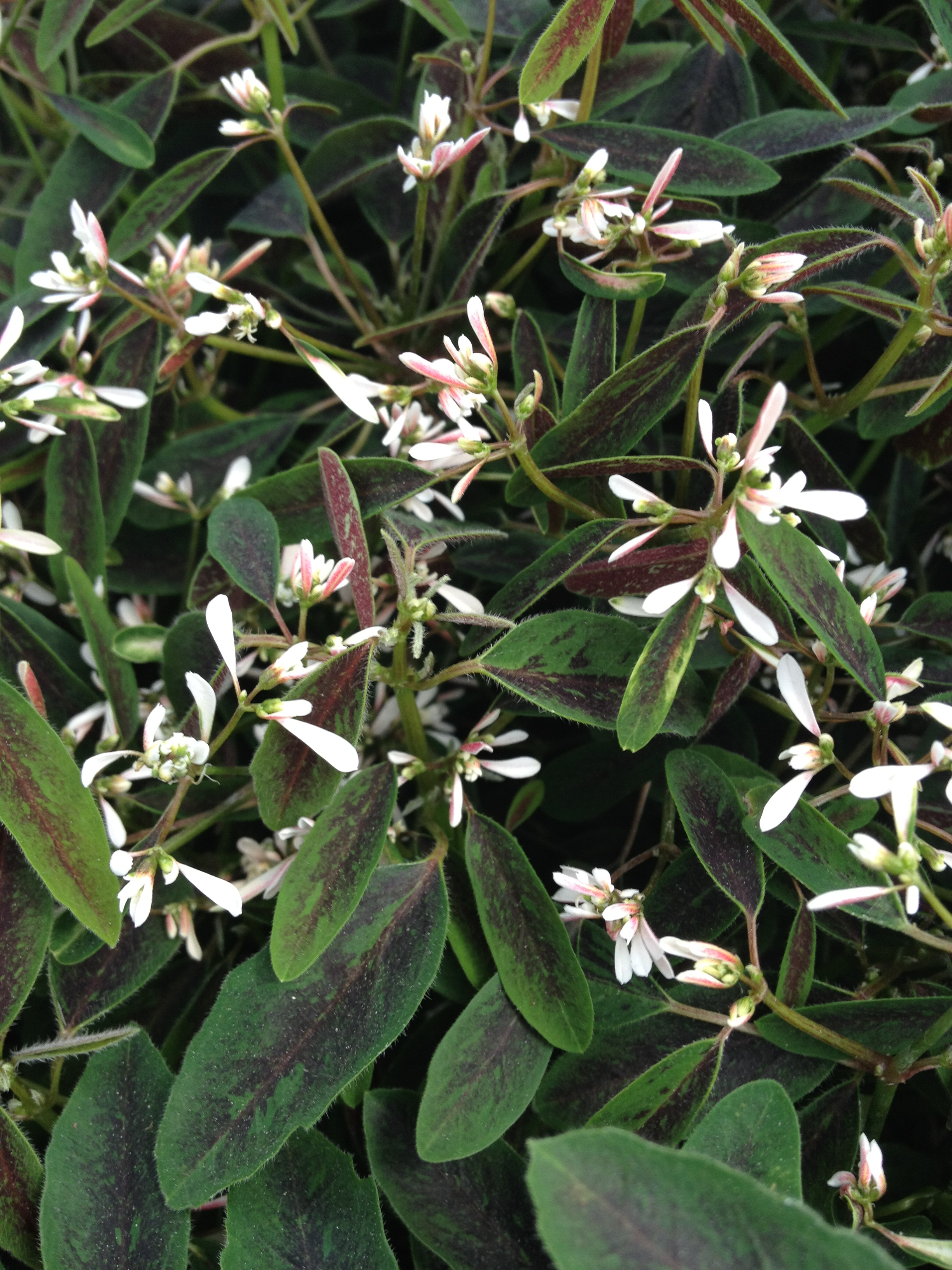 "4.5"" Blush Euphorbia"