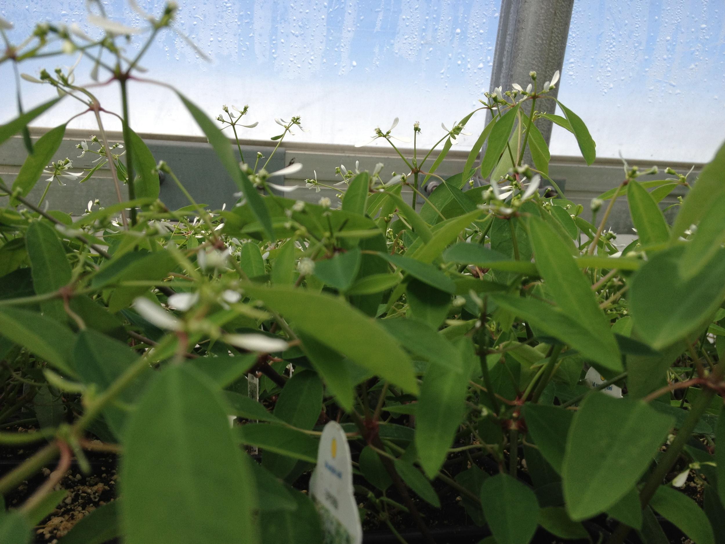 "4.5"" White Euphorbia Leaves"