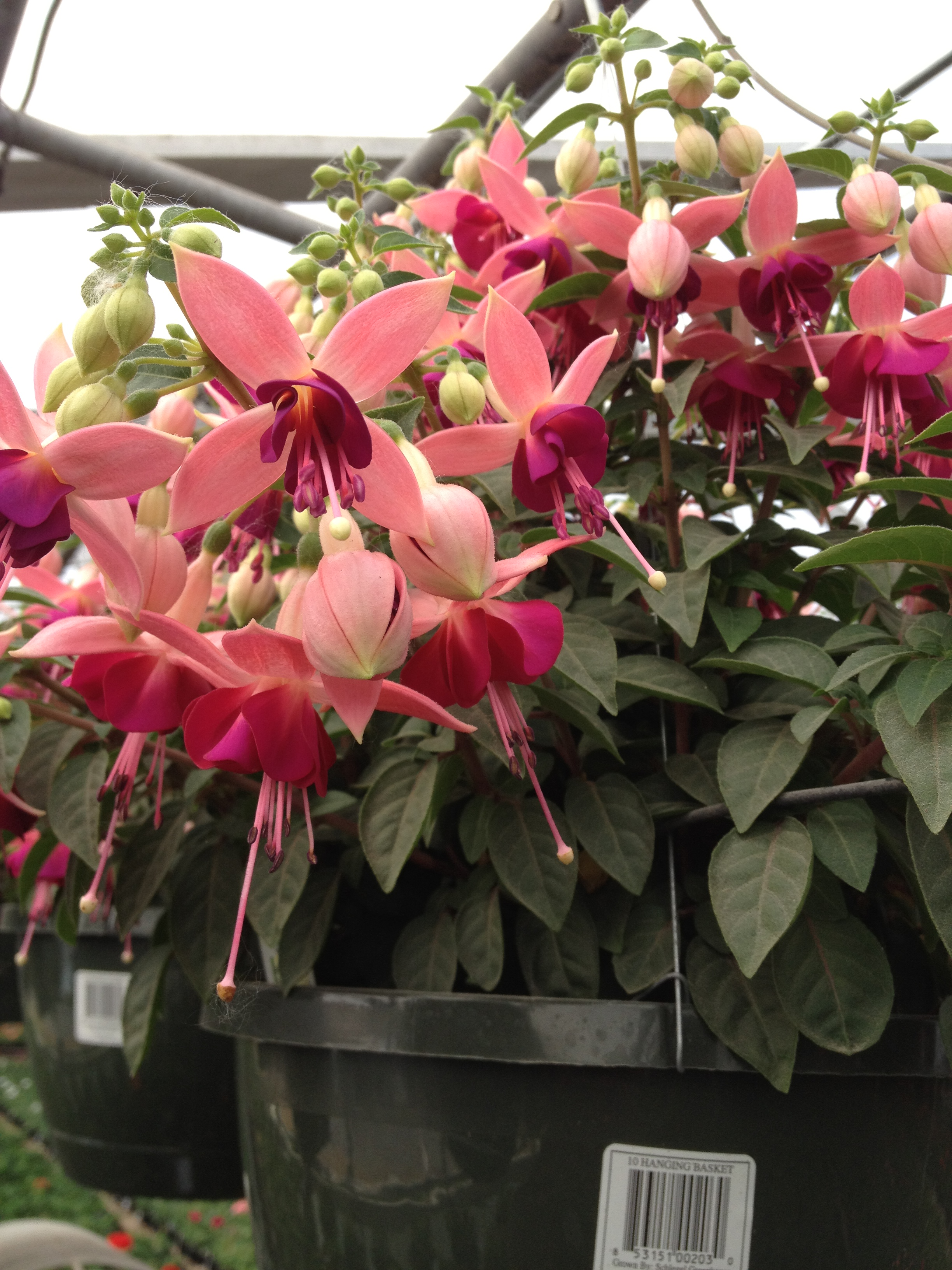"At Schlegel Greenhouse you can expect to find a good variety of Fuchsia to choose from. Whether they are in 10"" hanging baskets with the trailing Fuchsia or the 4.5"" upright fuchsia. They are are very capable performers during the spring and are low maintenance on the retail end. Fuchsia brings unique color and attracts customers to your spring display."