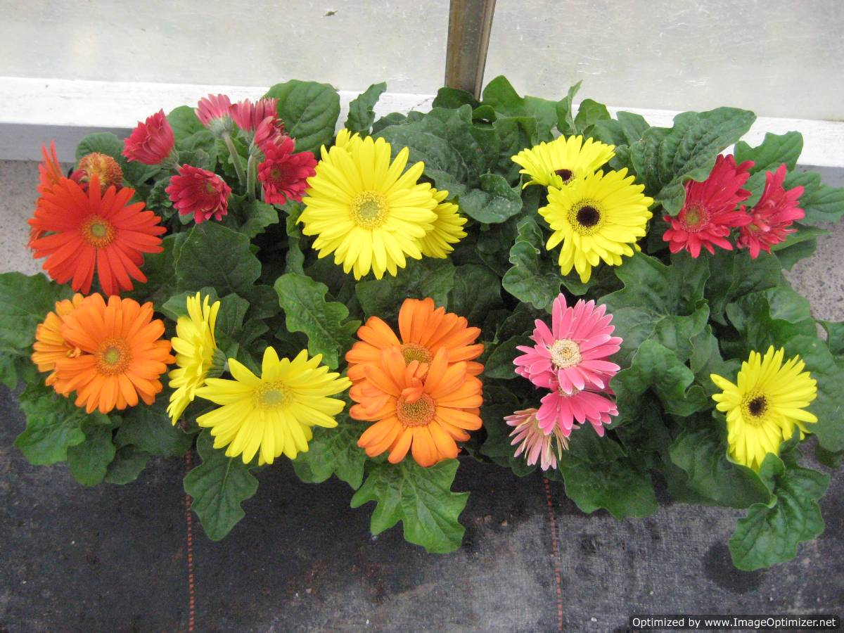 "Gerbera Daisies are are an excellent early and late spring item. With vibrant colors that truly pop they can make for an excellent bedding and planter option. These are available exclusively in 4.5"" in four colors which are red, yellow, pink, and orange."
