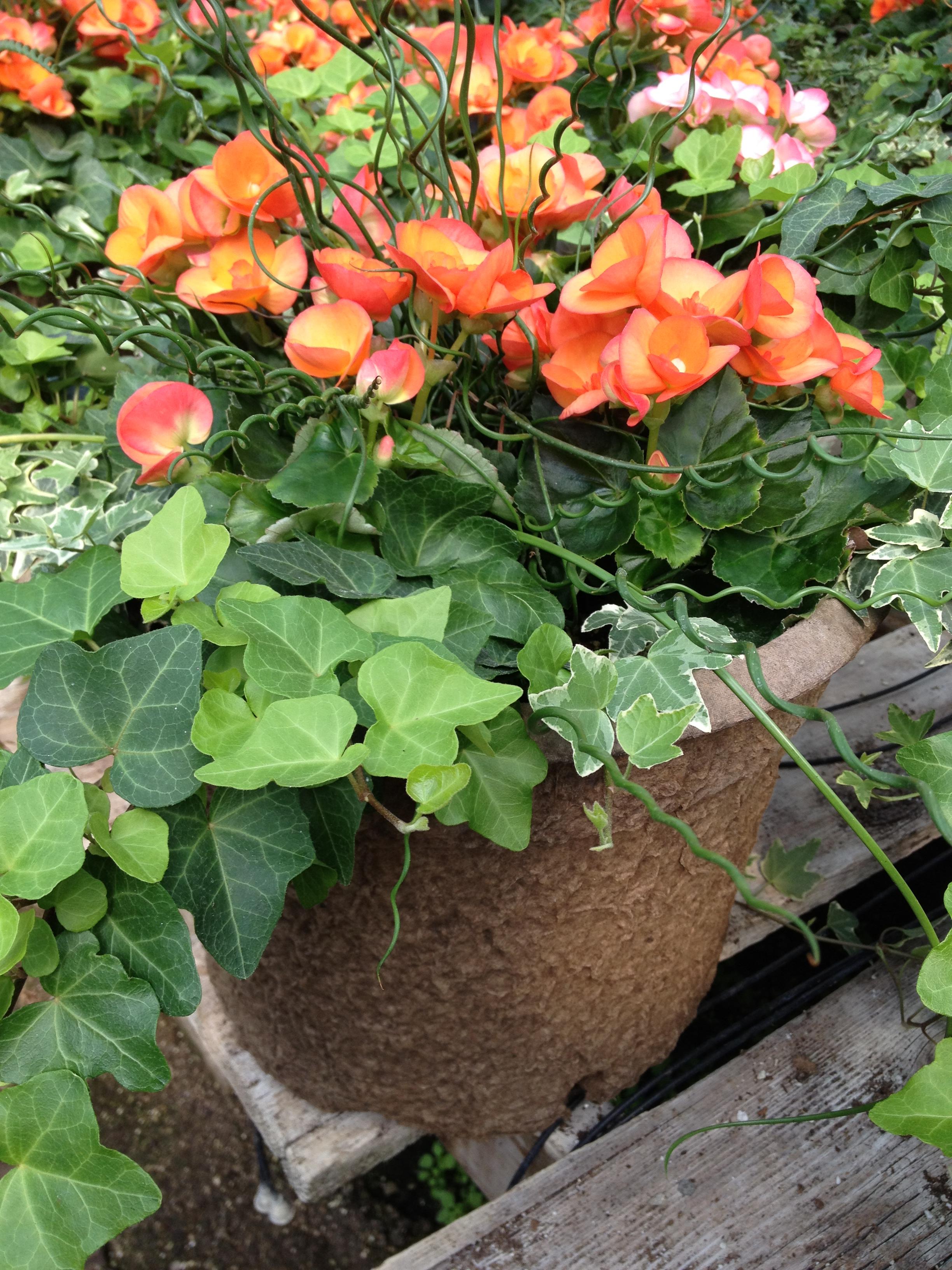 "12"" Orange Reiger Begonia Combination"