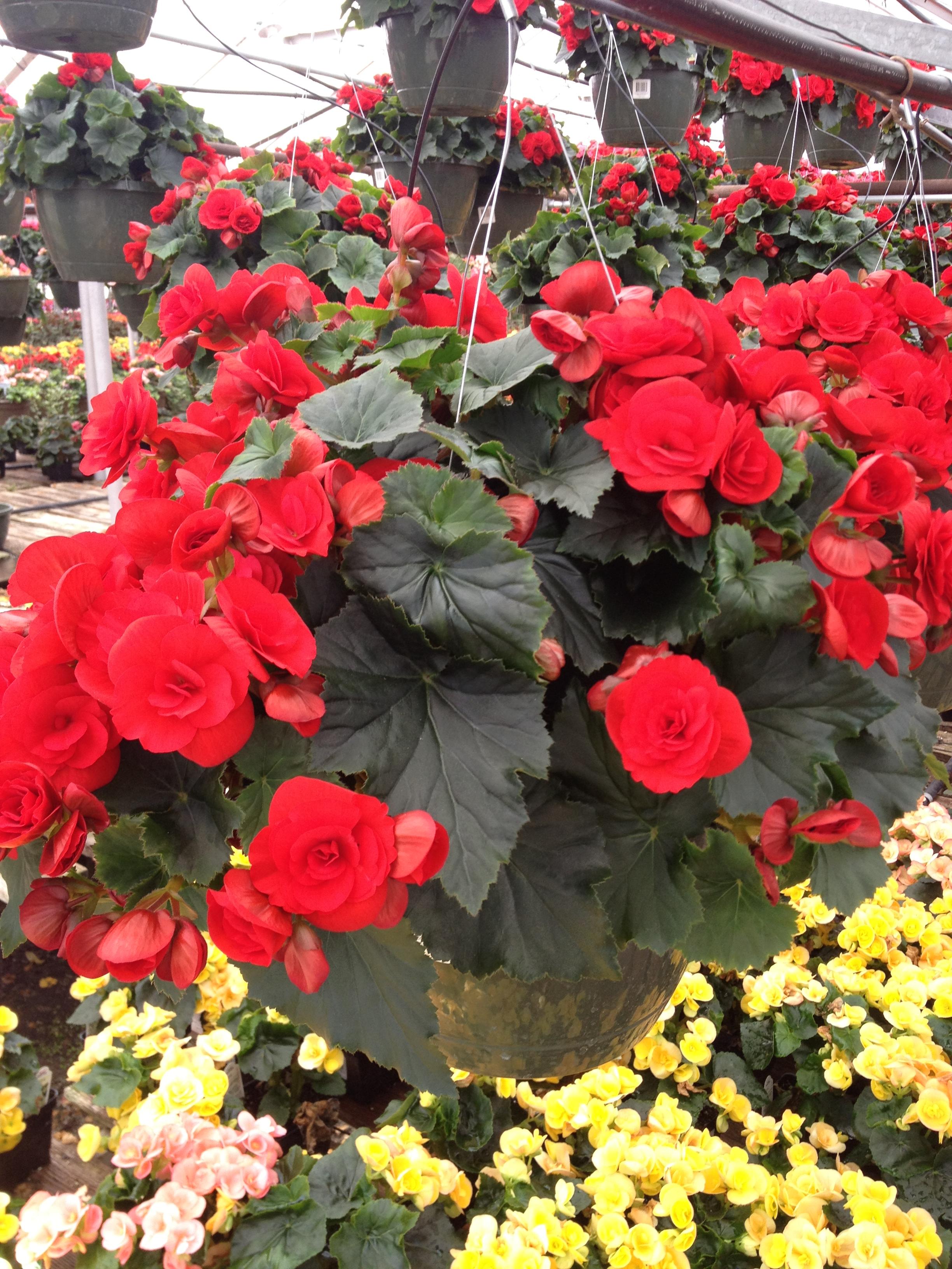 """10"""" Red Reiger Begonia Basket"""