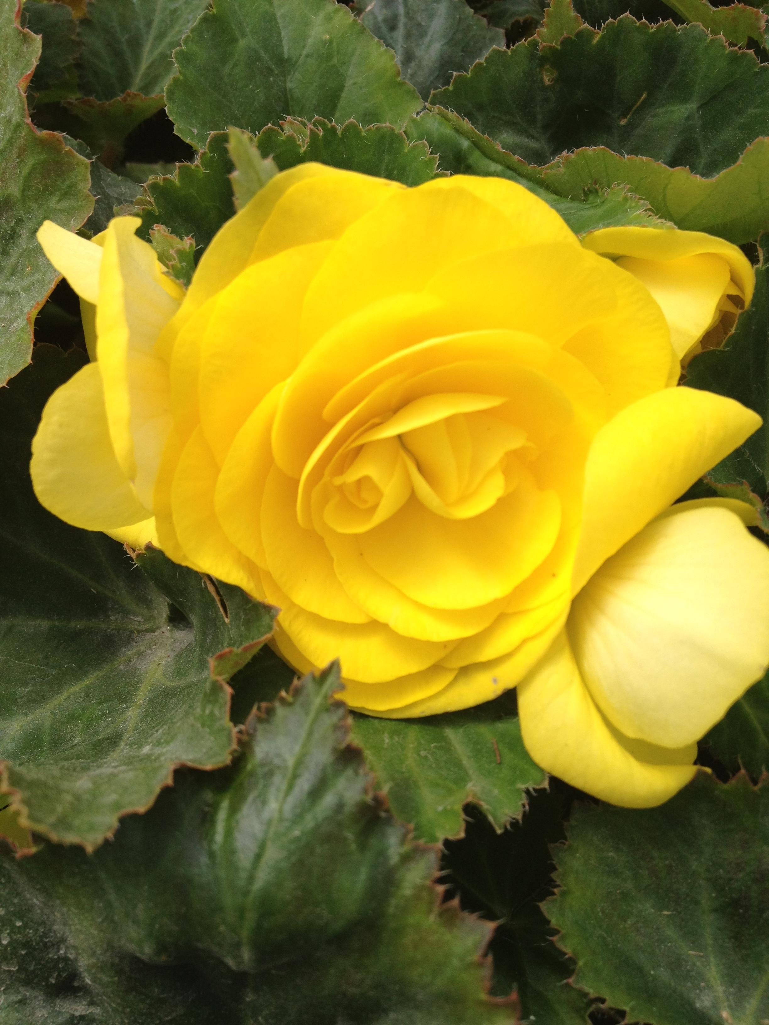 """4.5"""" Yellow Non-Stop Begonia"""