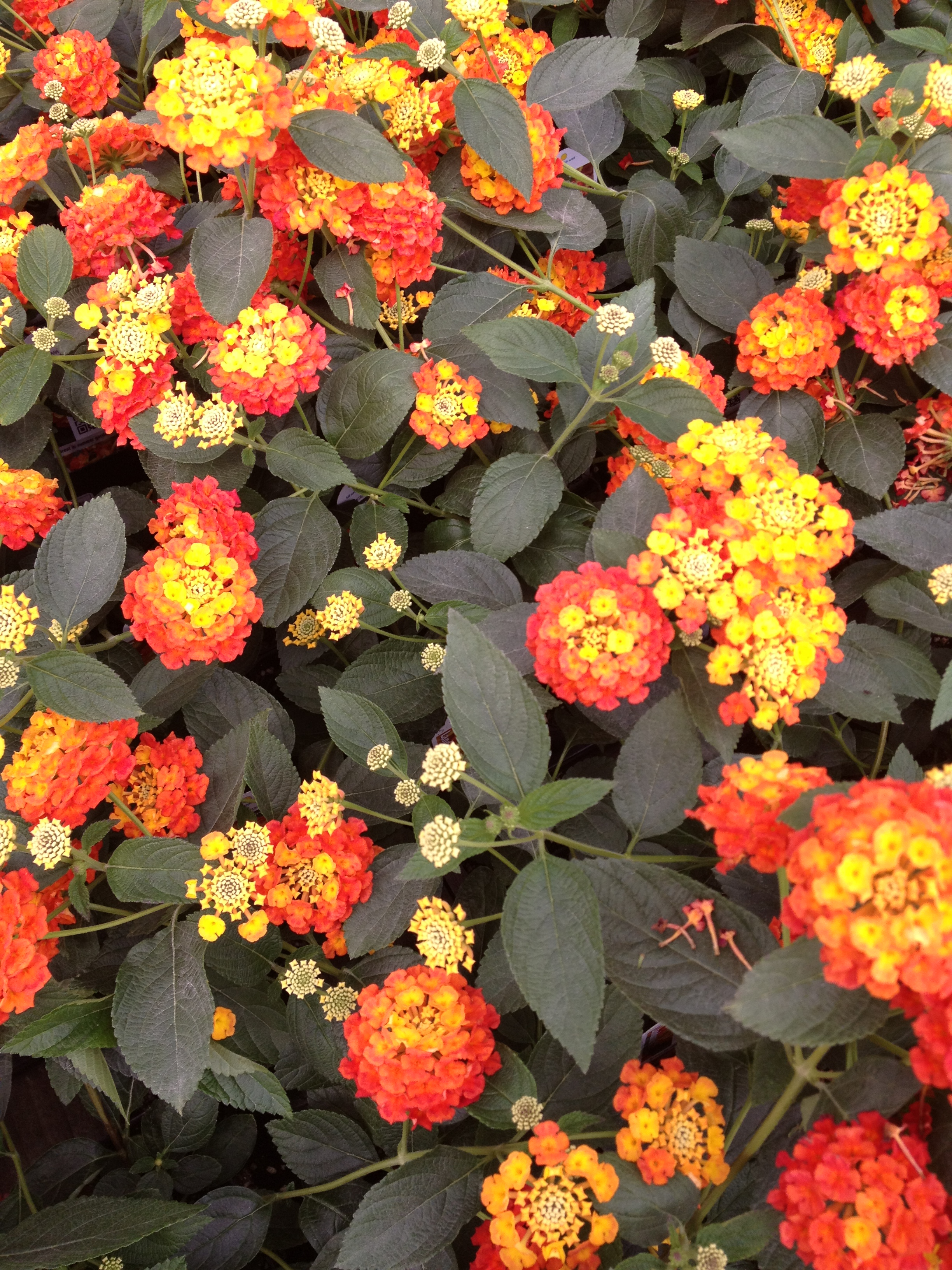 Is Lantana great or what? (Citrus pictured above) It's packed full of blooms. It's hardy during the summer. It's versatile, It spreads. What more could you want? At Schlegel Greenhouse we make sure you are getting the best of the best Lantana and with a large and expanding variety of colors to choose from, we are sure we can fill your needs.