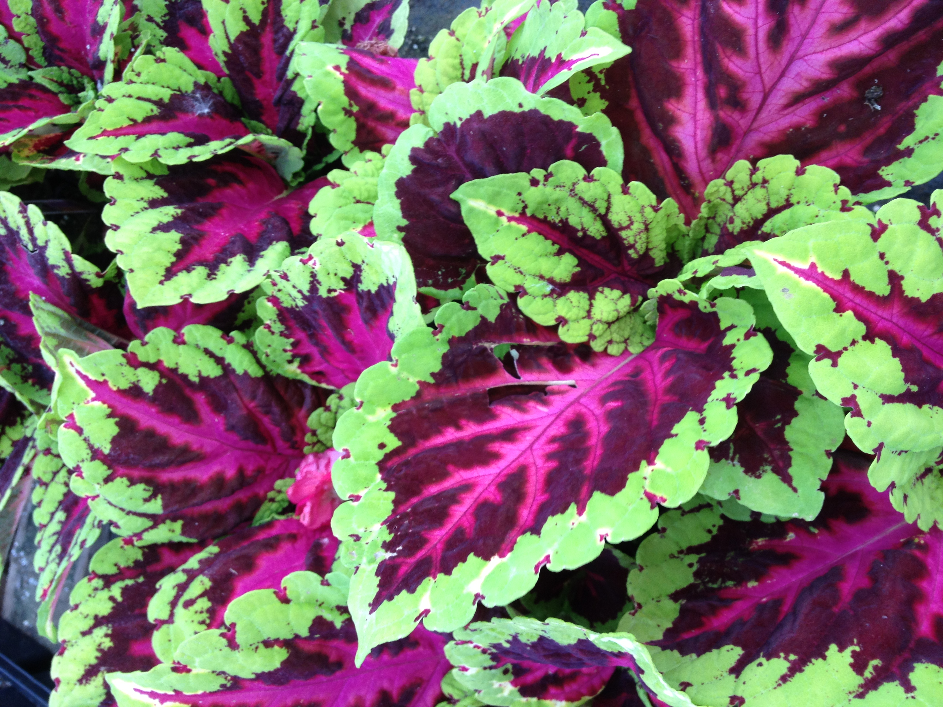 """Kong Coleus provide large brightly colored leaves to a shaded spot. They work great in planters and as a bedding option and they always sell well on the retail end. We have four of the most popular varieties to choose from and they are available in 4.5"""" pots."""