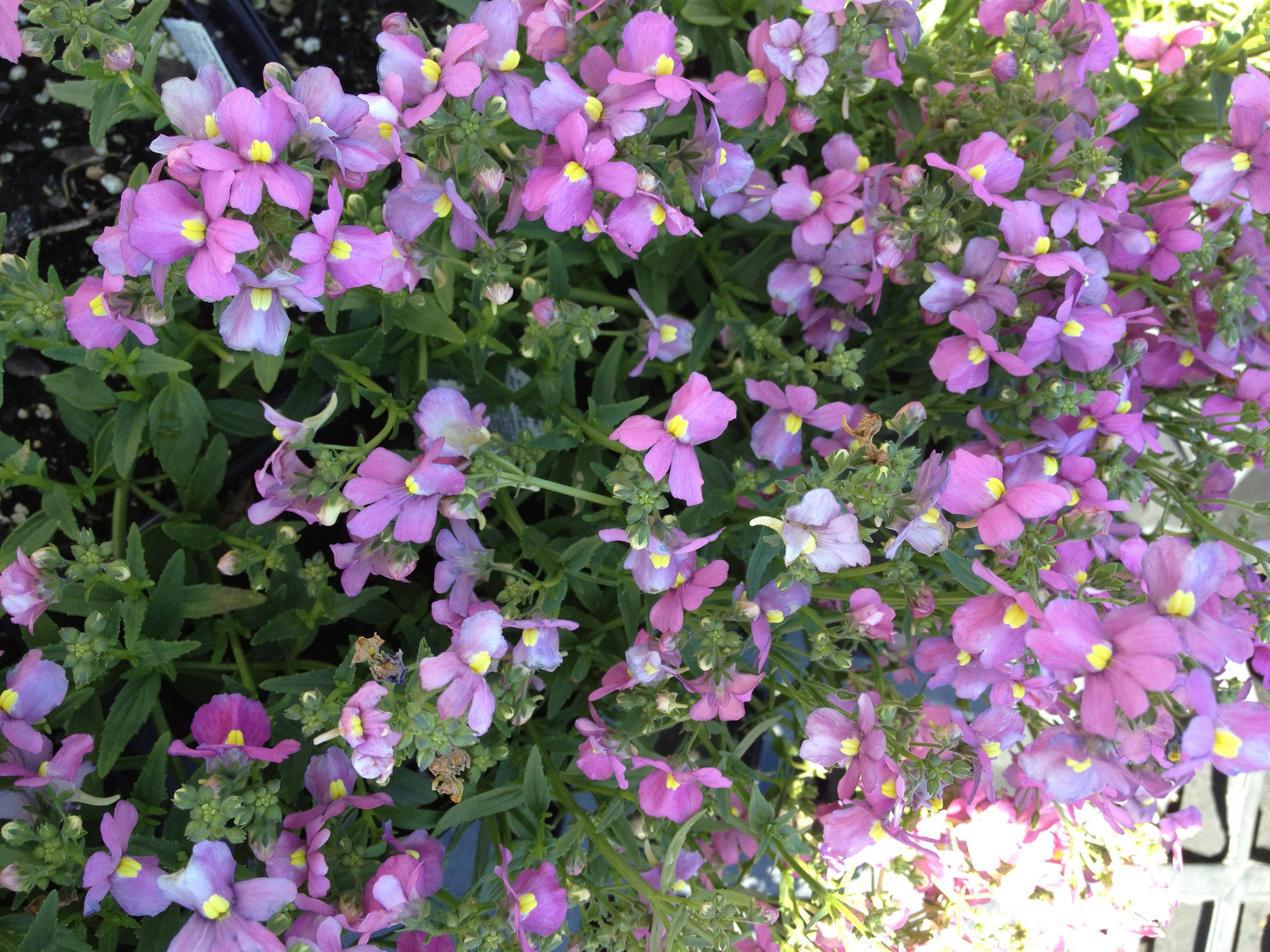 "Nemesia is a useful early spring to late spring 4.5"" item here at schlegel greenhouse. It has an abundance of blooms and fills to size very quickly while also working well in planters and baskets. A great item for adding variety to your selection and not sacrificing color and quality."