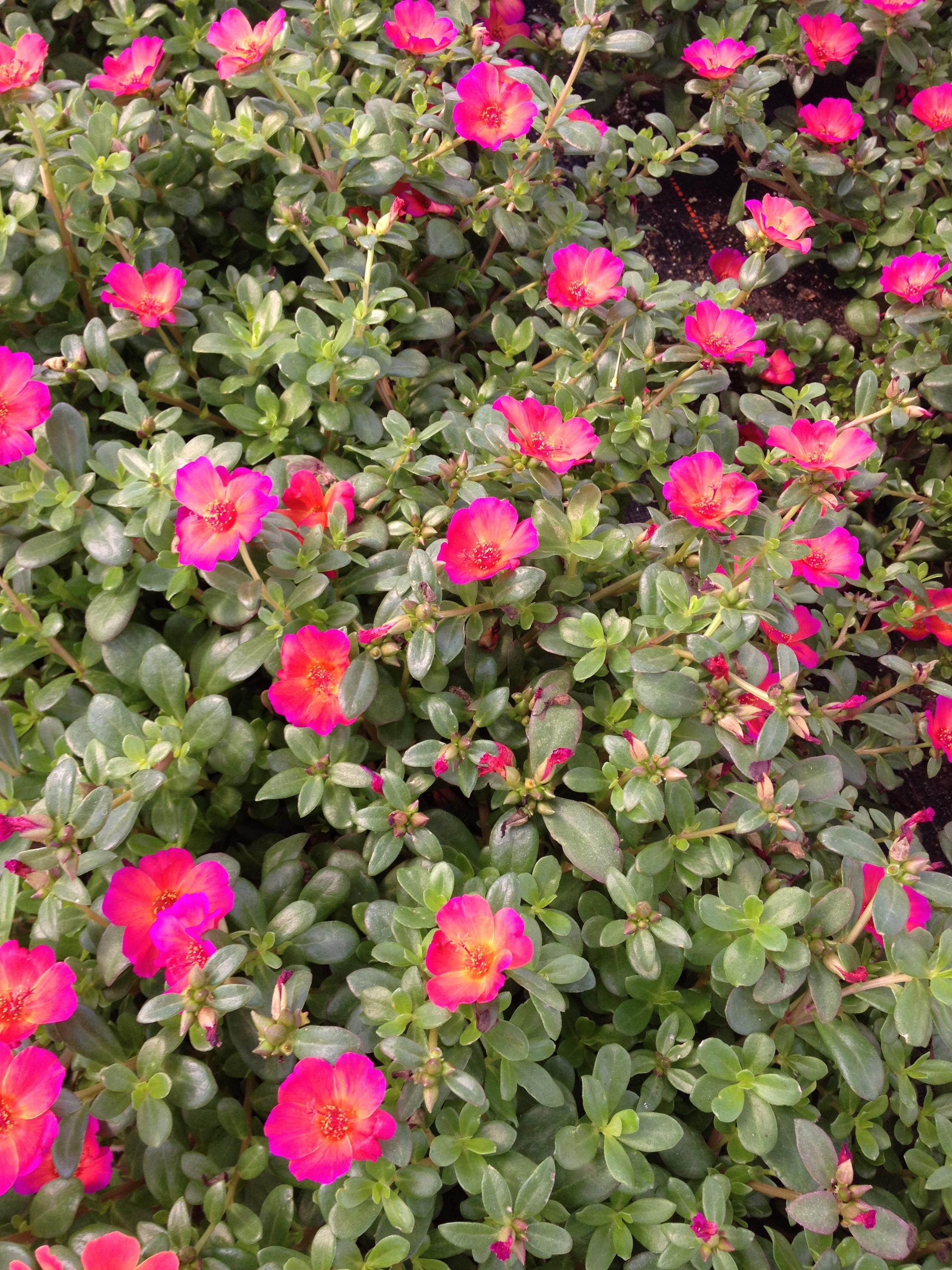 """4.5"""" Rose Portulaca"""