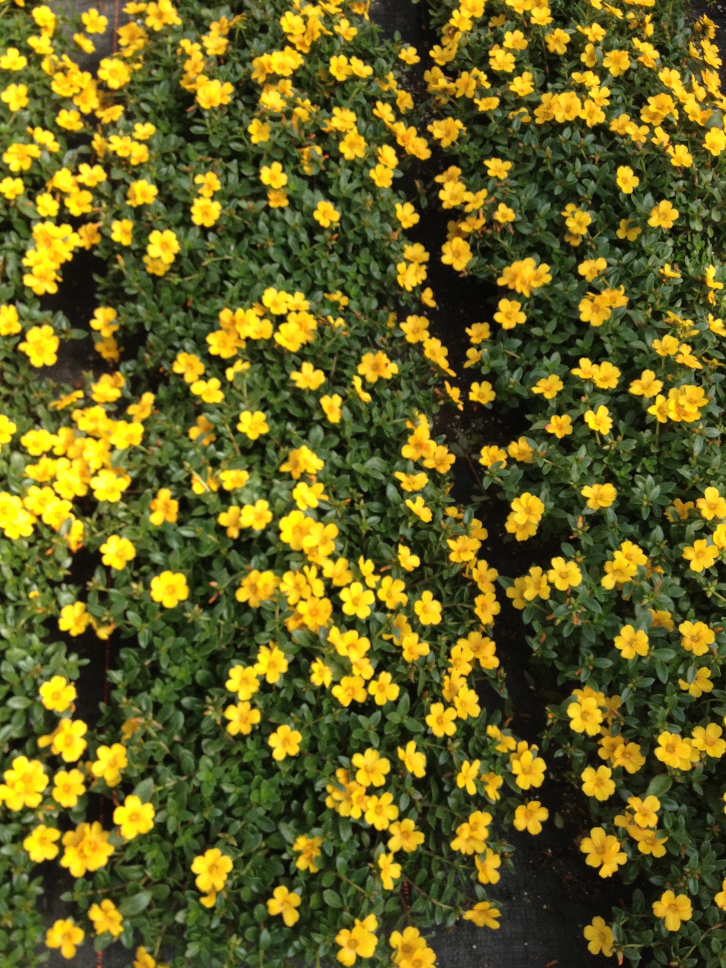 "4.5"" Yellow Portulaca"