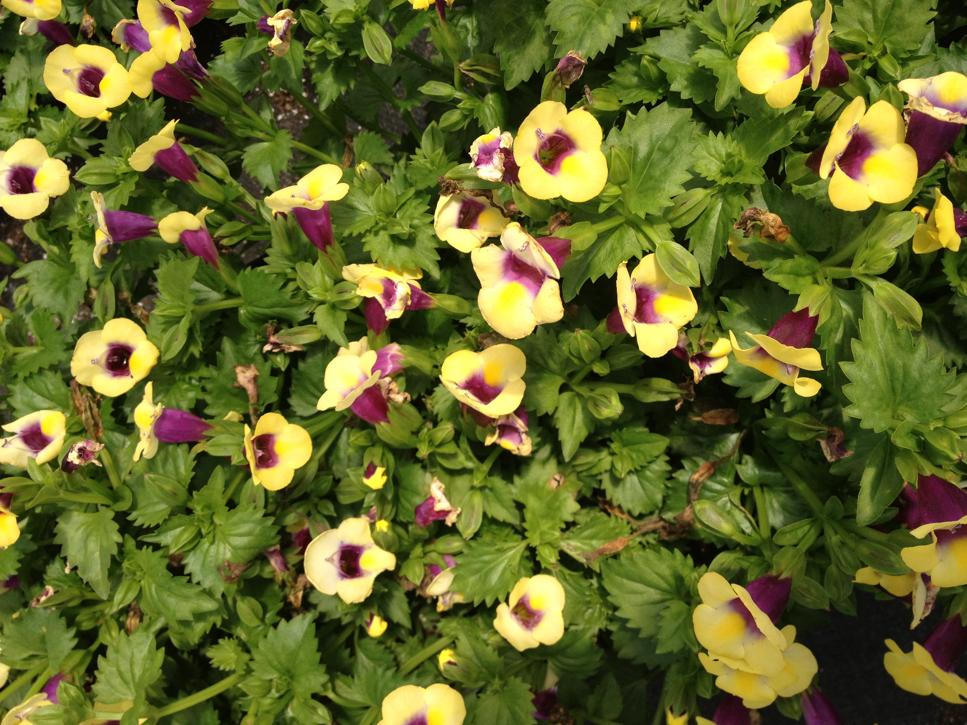"""Torenia has seen improved popularity in recent years. It's unique flower shape and it's trailing habits lend it a unique opportunity as an excellent shade item. It can do well during the humid summer months and works best in planters and baskets. It is available in 4.5"""" pots."""