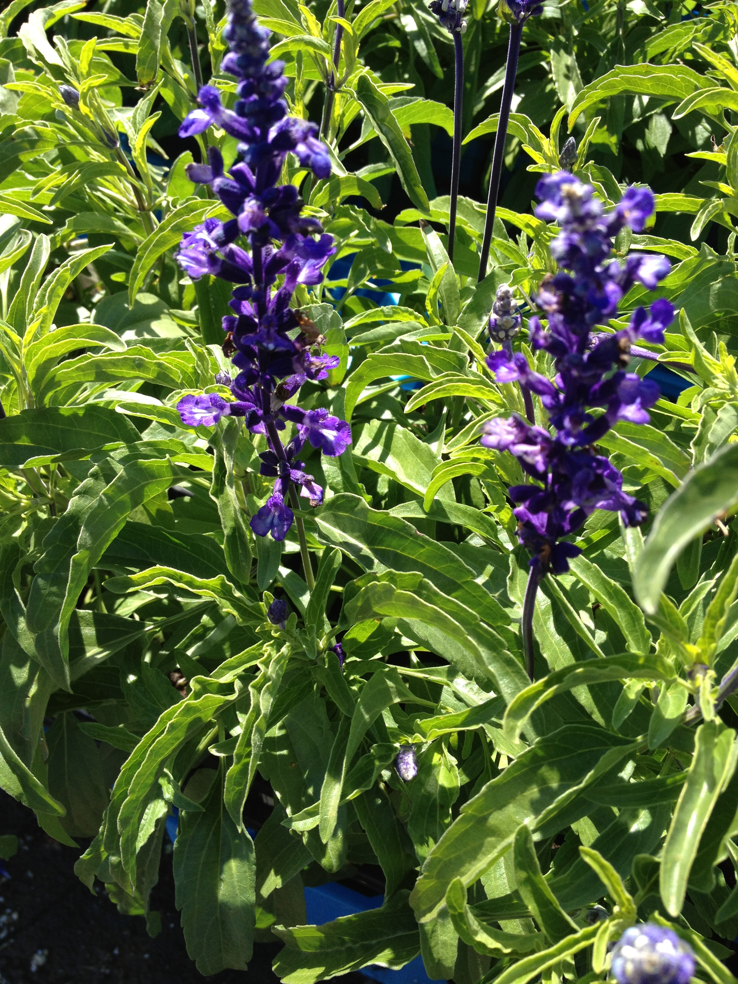 "Salvia is an extremely popular landscape item. With it's ability to add color and thrive in the heat of the summer it has become one of our most sought after 4.5"" items. We feature it in a variety of colors and it is exclusively available in 4.5"" pots."