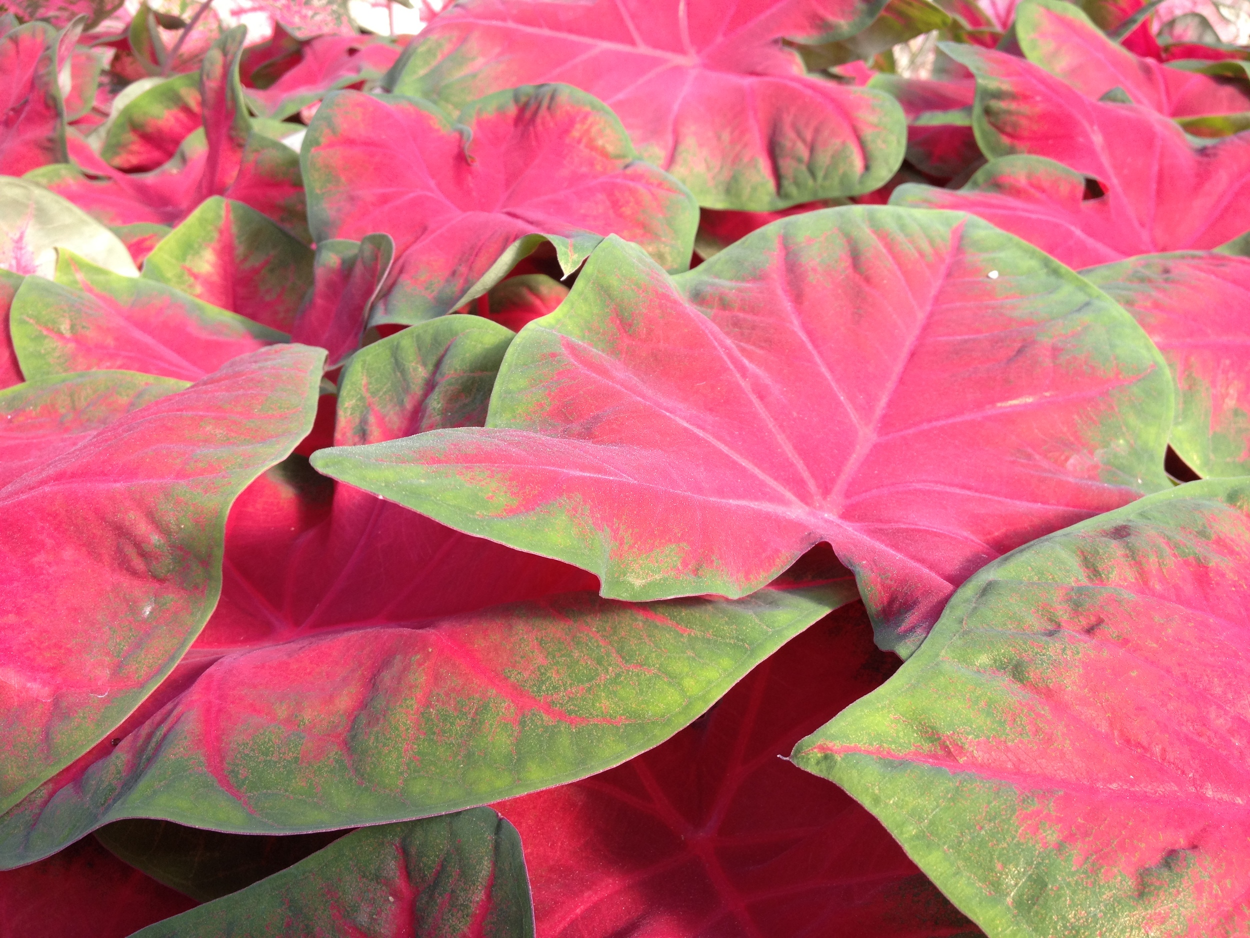 """Schlegel Greenhouse has been in the Caladium business for more than 15 years and there has been no looking back. Their beautiful leaves fill out a shaded are as well as anything and their wide variety of unique designs and colors give people plenty of options and keep them coming back for more. Exclusively a 6.5"""" item and their quality is always second to none."""