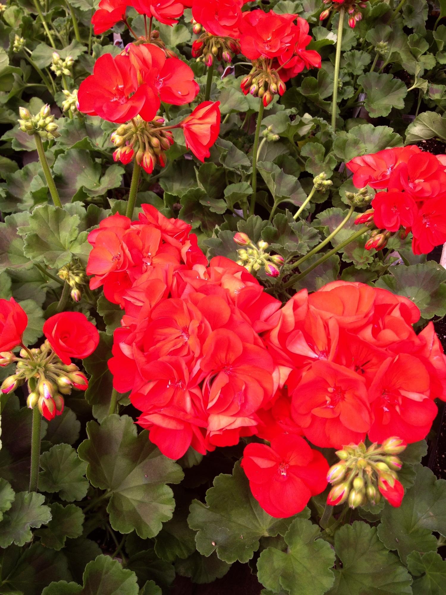"""4.5"""" Red Geranium"""