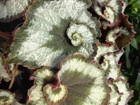 Rex Begonias are an incredibly unique shade plant. They come in a wide variety of colors and shapes and are quickly becoming a favorite plant of our retail customers. Great in containers and our production continues to grow year after year.