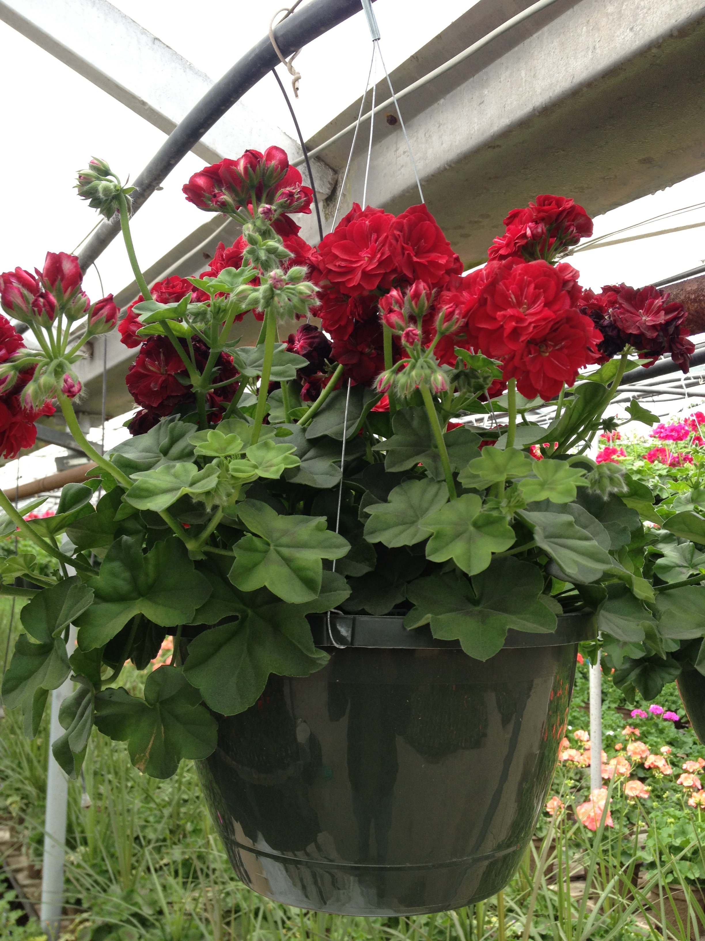 """10"""" Red Ivy Geranium Hanging Basket"""