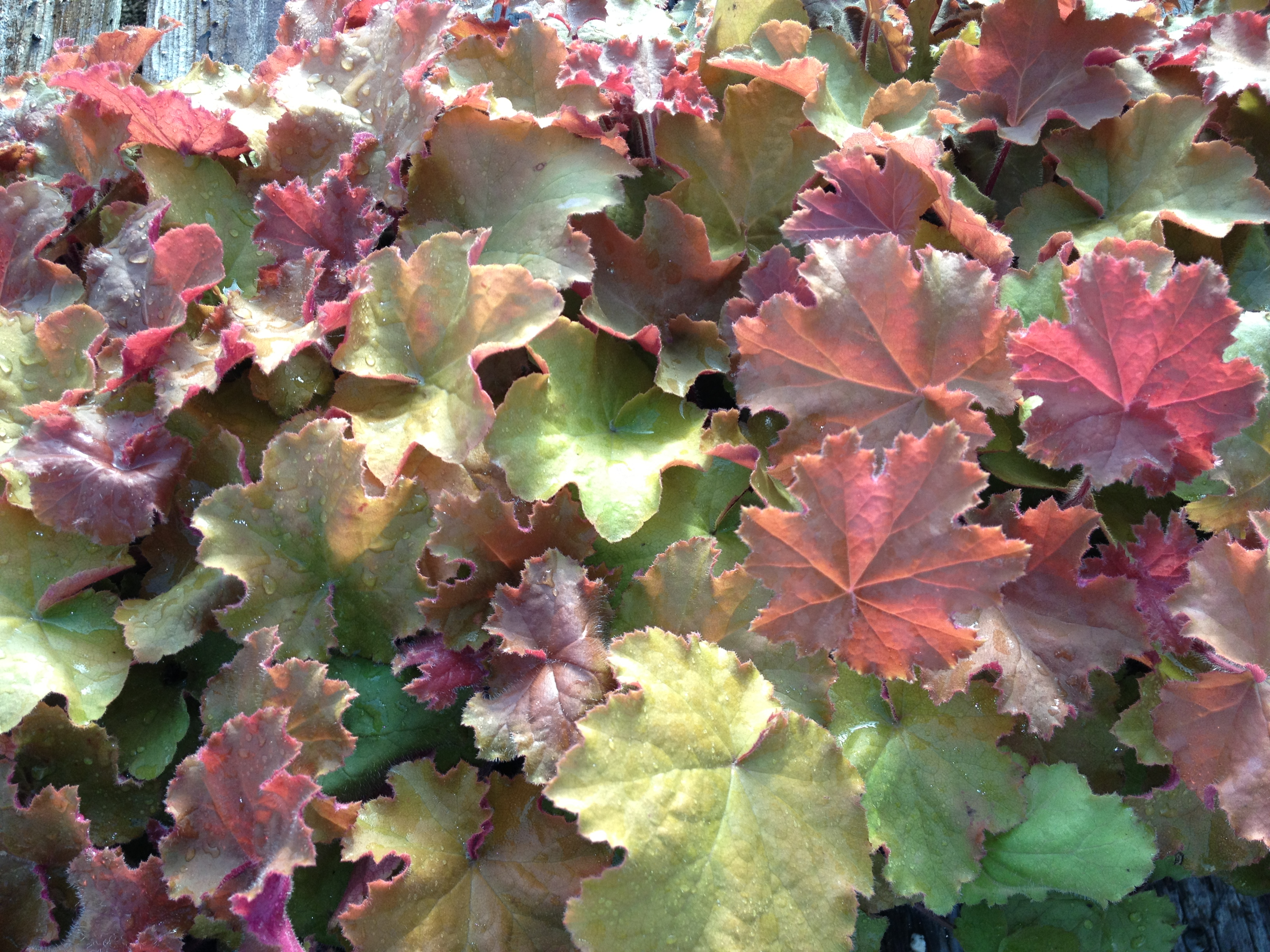 "Heuchera is the only perennial that we grow at Schlegel Greenhouse and we feature it in a 4.5"" pot. Heuchera provides a wonderful plant for shaded areas that will have tall blooms throughout the summer."