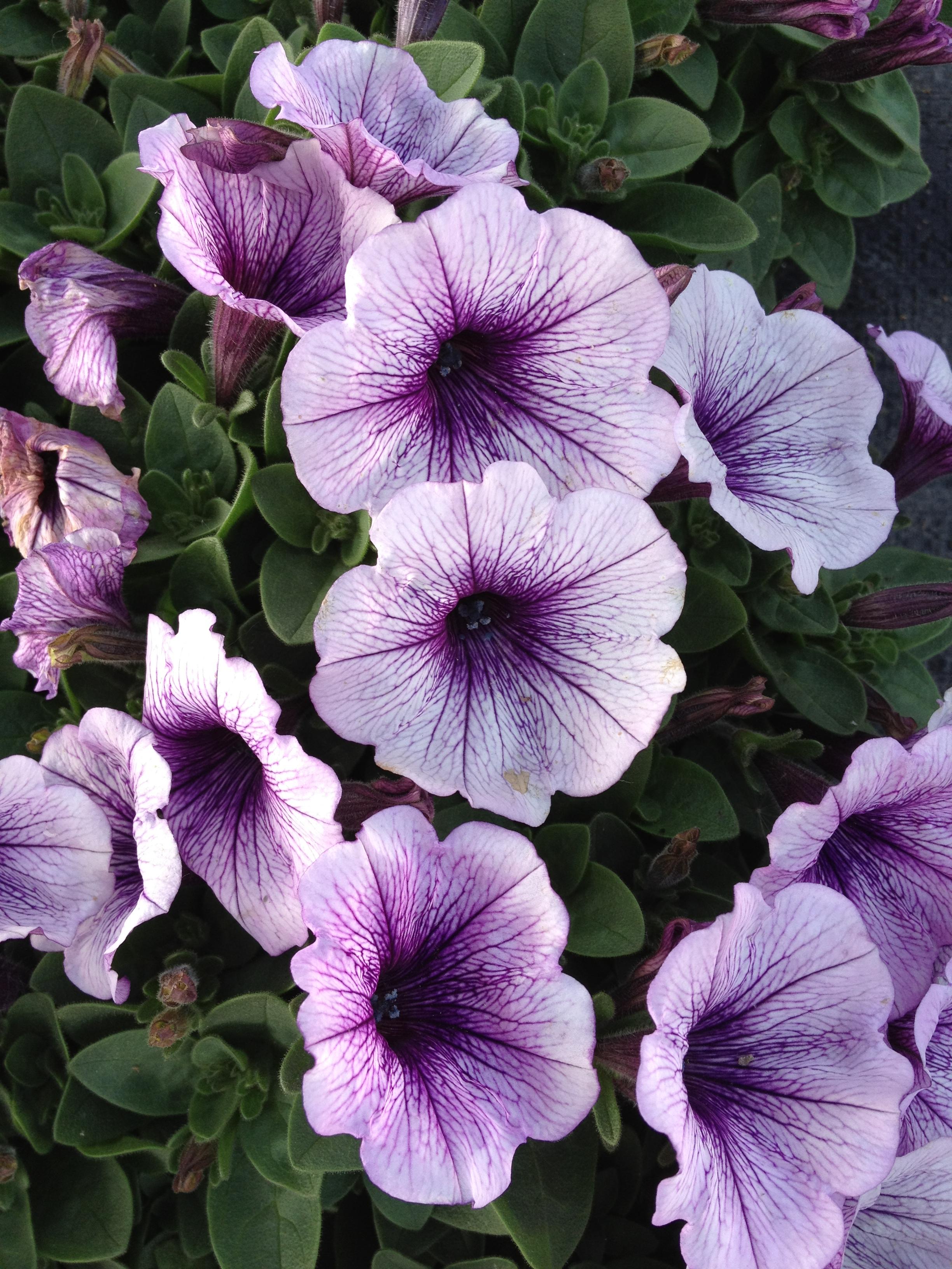 "4.5"" Blue Vein Petunia"