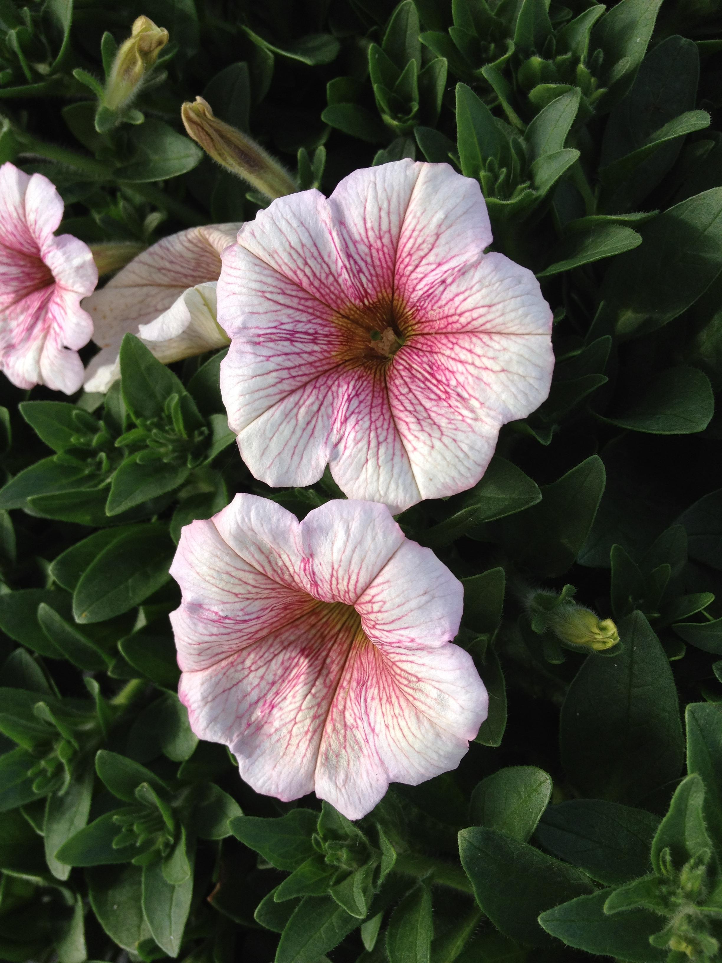 """4.5"""" White Parfait Petunia"""