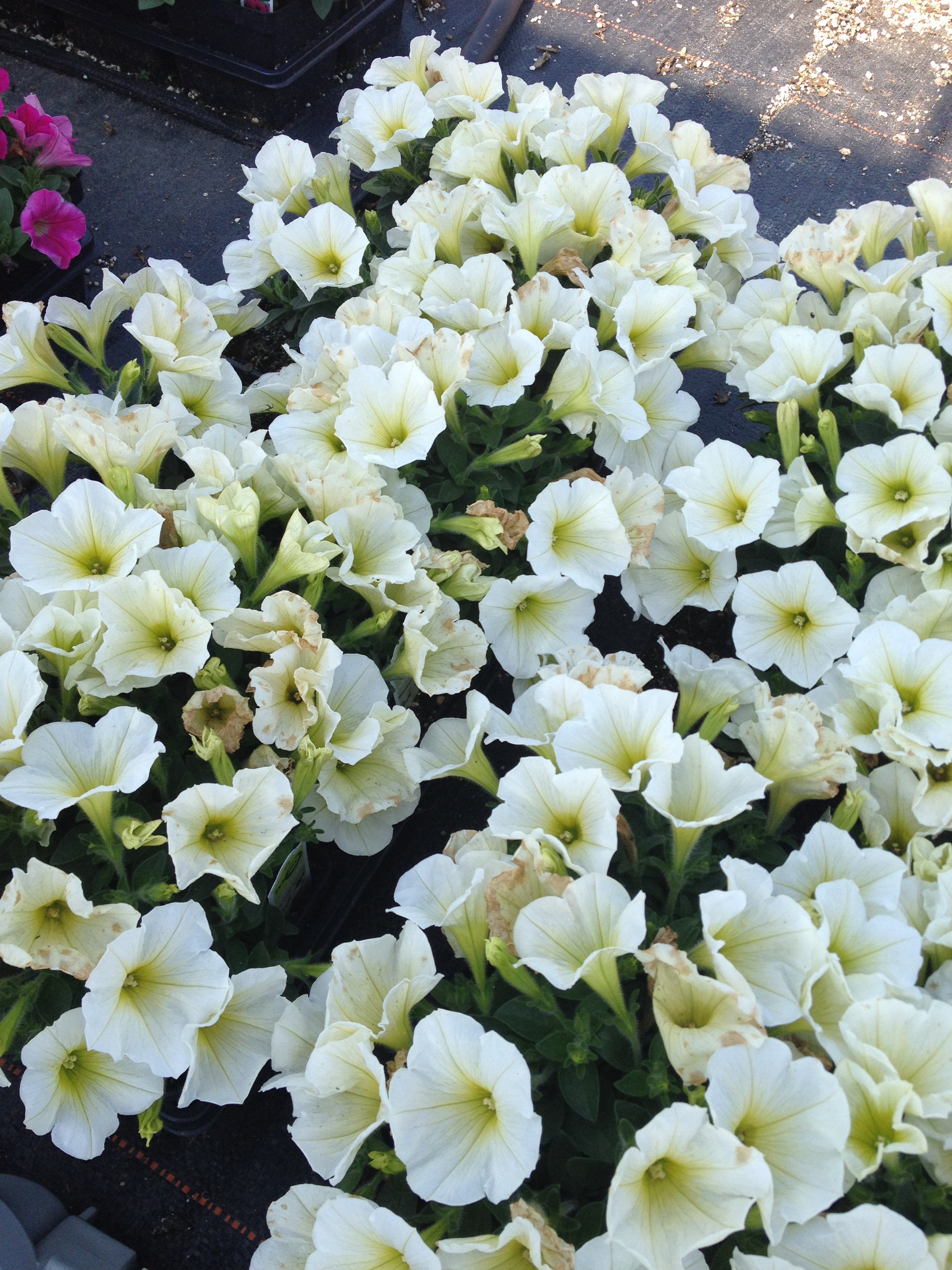 """4.5"""" Yellow Petunia"""