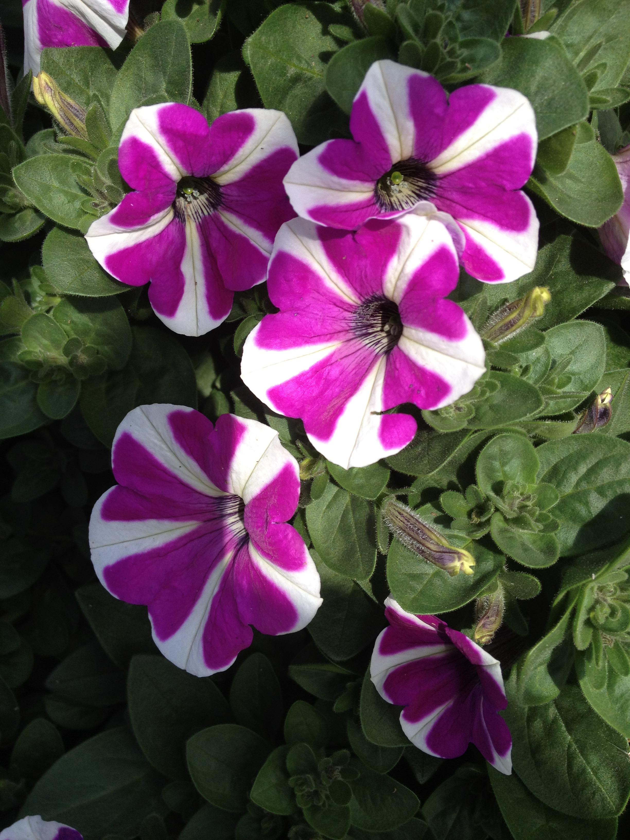 """4.5"""" Purple Bi-Color"""