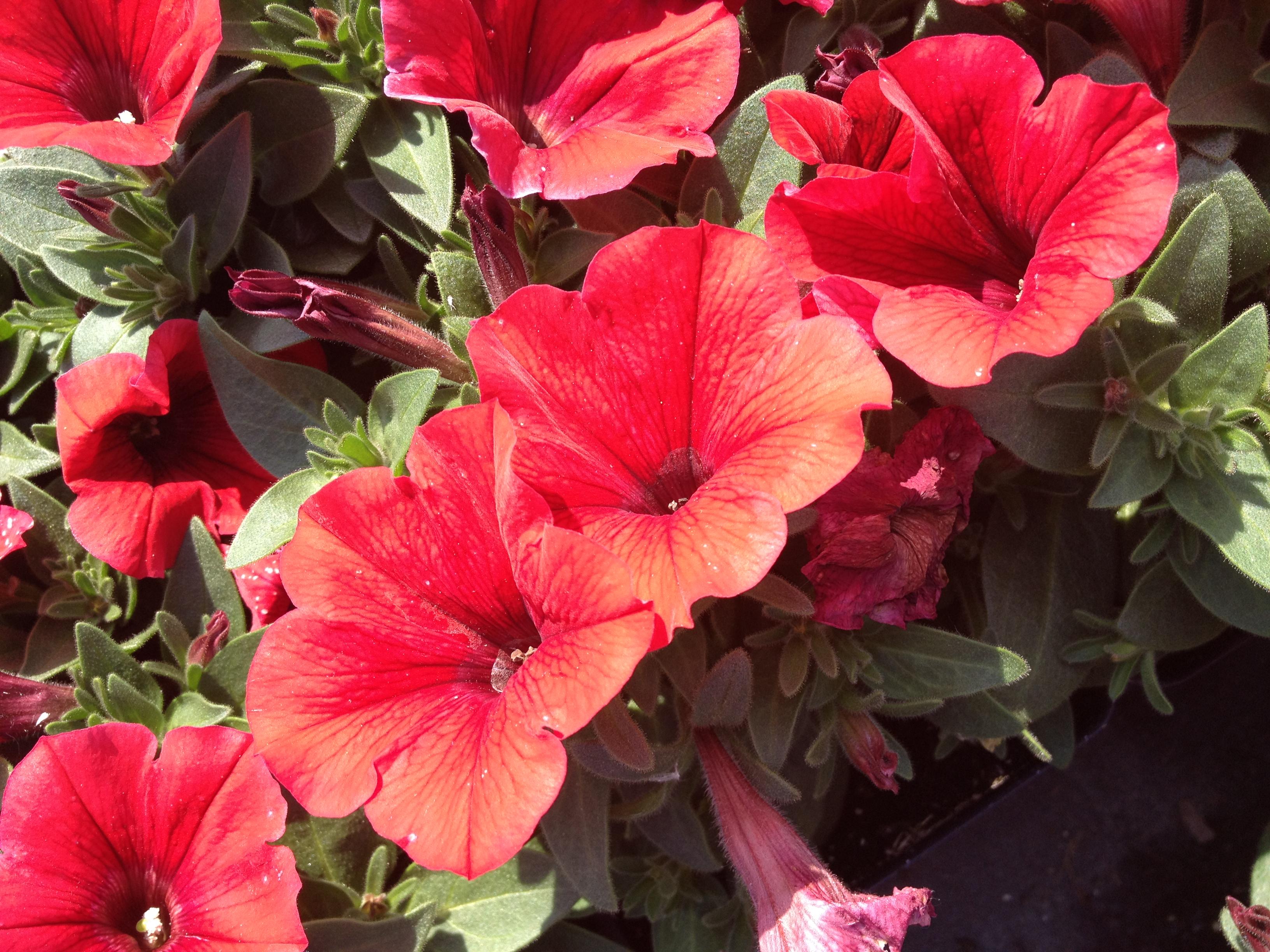 """4.5"""" Red Petunias"""