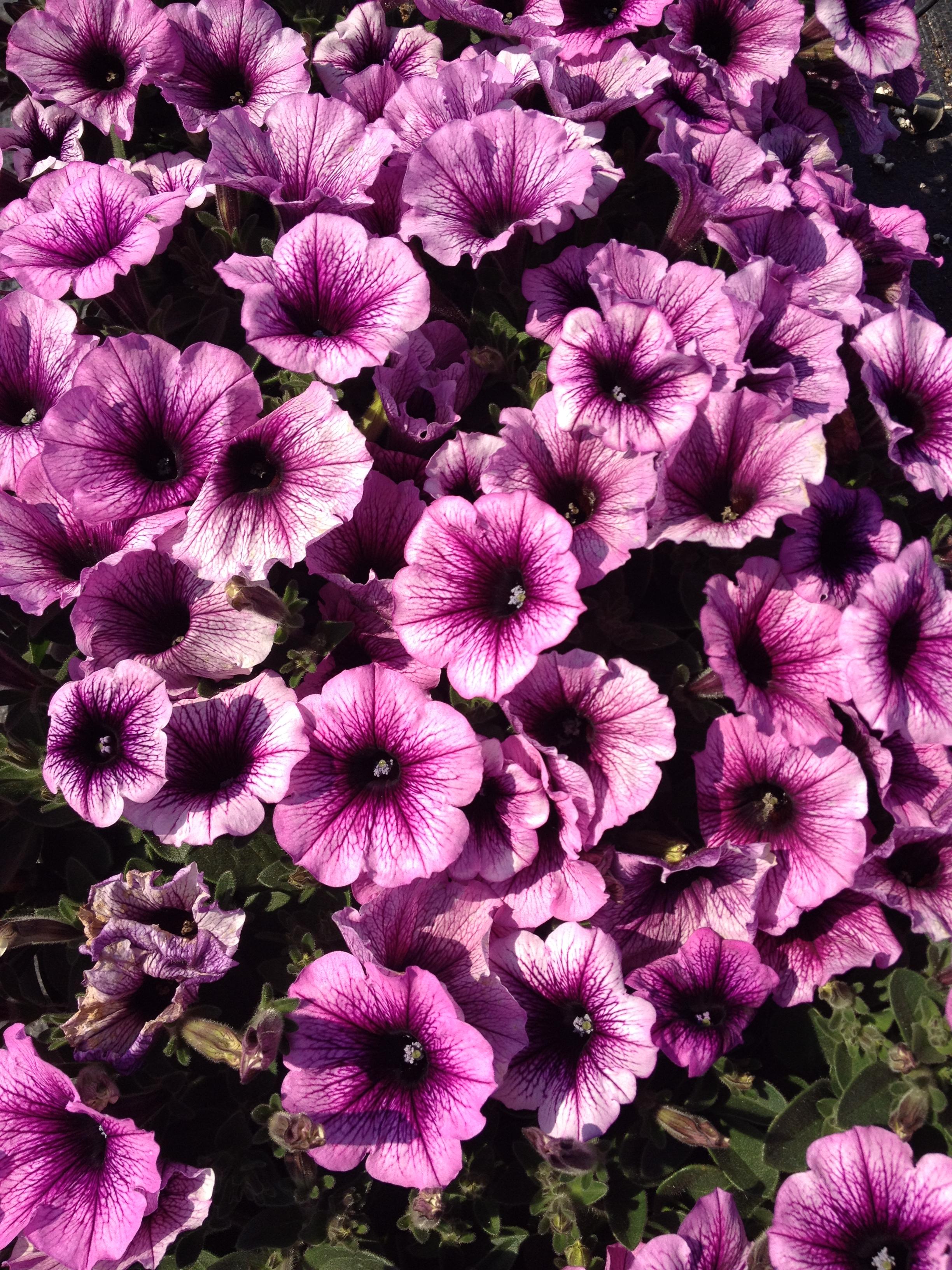 """4.5"""" Purple Vein Petunia"""