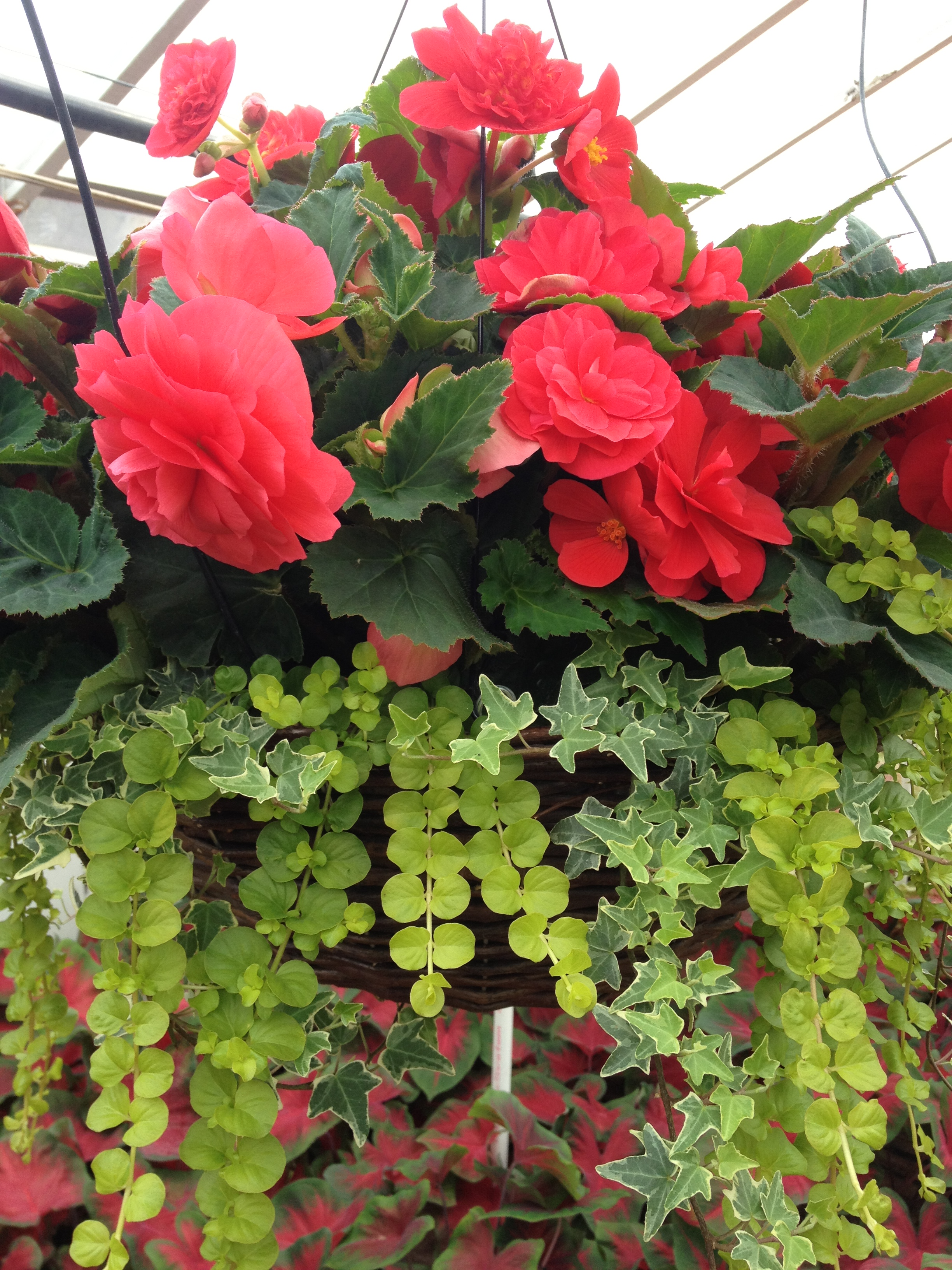 """Lysimachia (Creeping Jenny), has become an increasingly useful and popular accent plant in recent years. It's aggressiveness help fill out our baskets and combos and works well in bedding areas for landscapers. Lysimachia is available in 4.5"""" pots."""