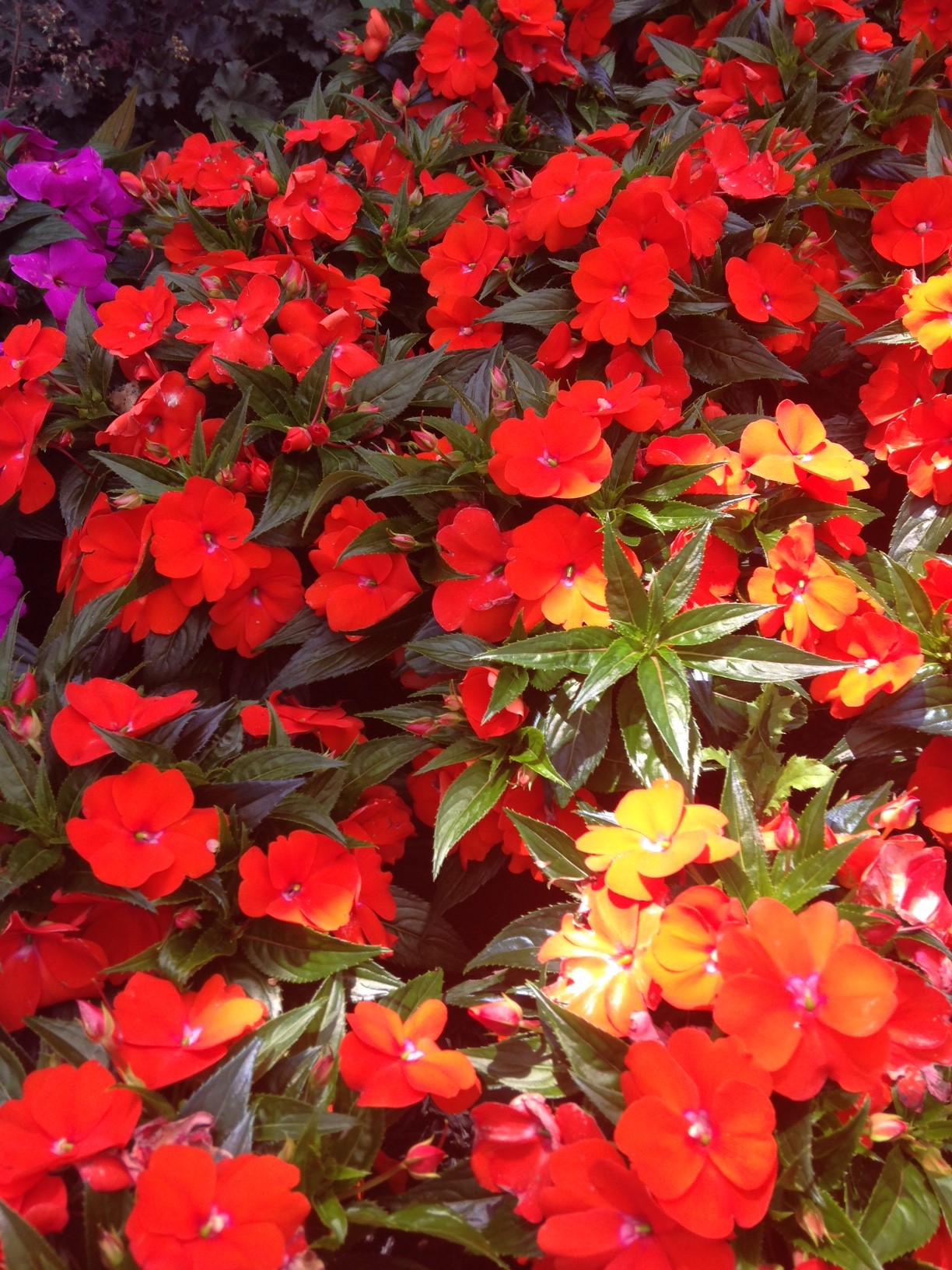"""New Guinea Impatiens have been a large part of Schlegel Greenhouse's production for many years. We feature this beautiful shade plant in a variety of sizes and a long list of colors. They make excellent bedding plants and sell consistenly in baskets and 8"""" tub planters."""