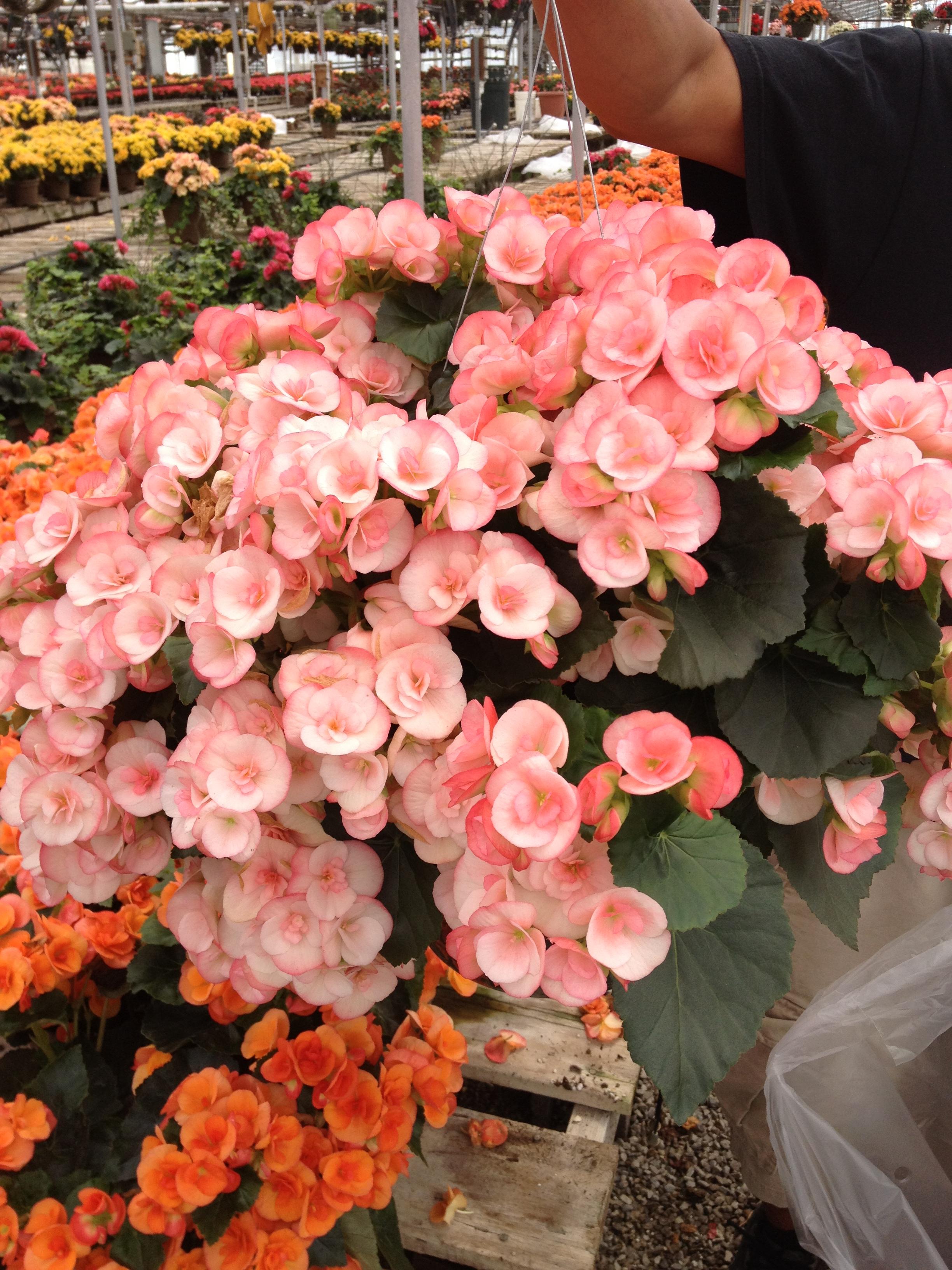 """10"""" Reiger Begonia Basket"""