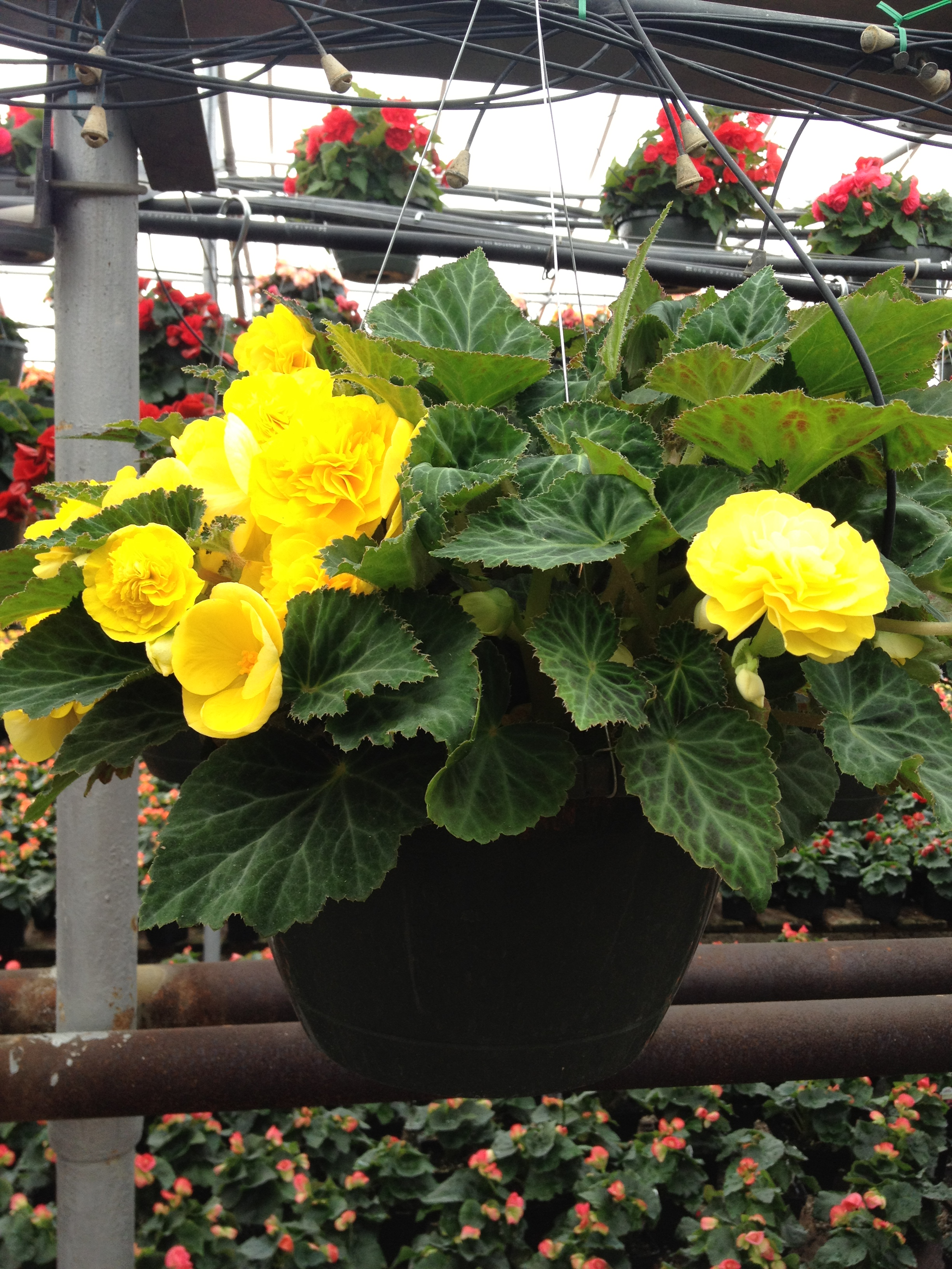 "10"" Nonstop Begonia Basket"