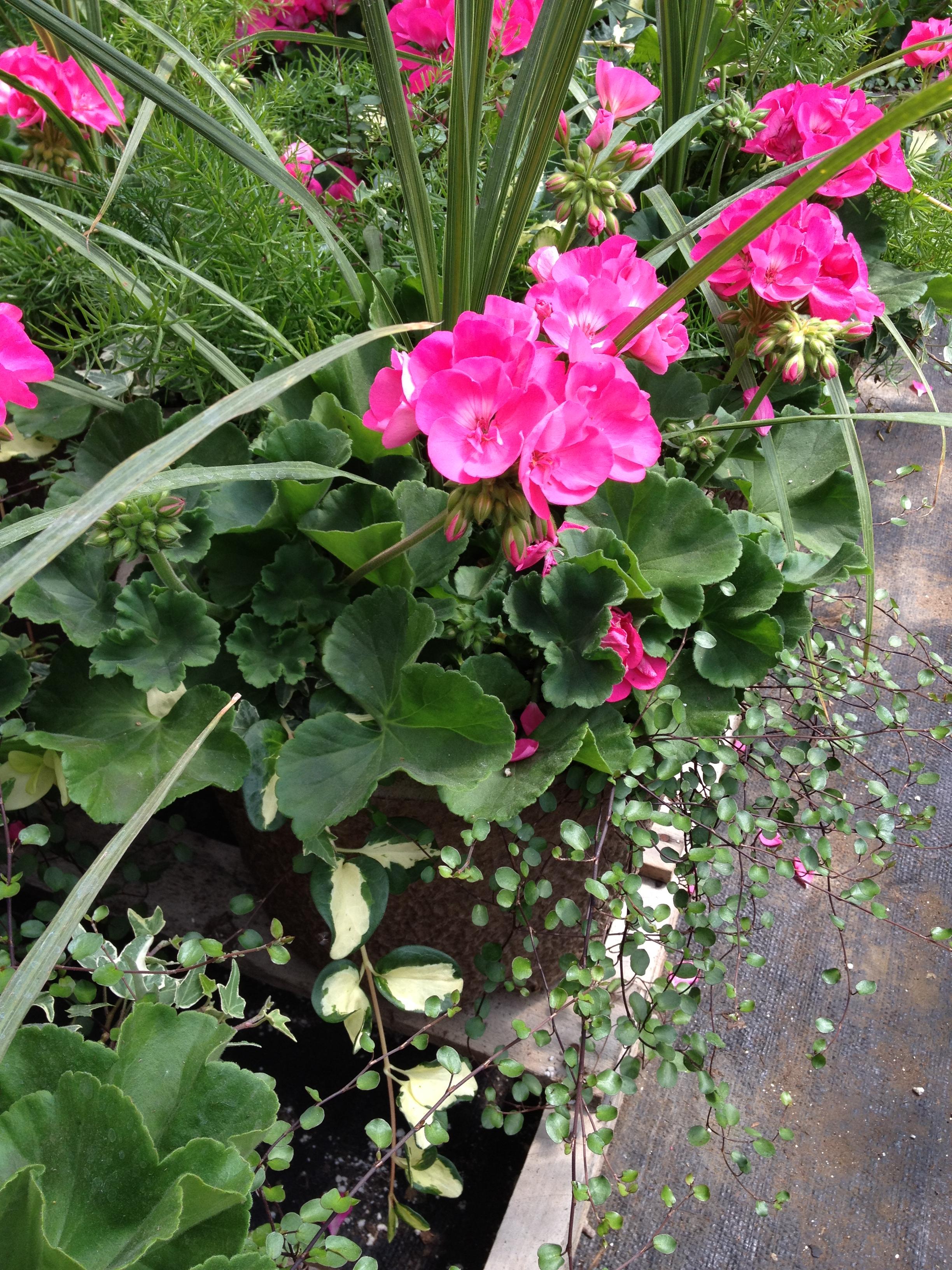 """12"""" Geranium Combination Planter"""