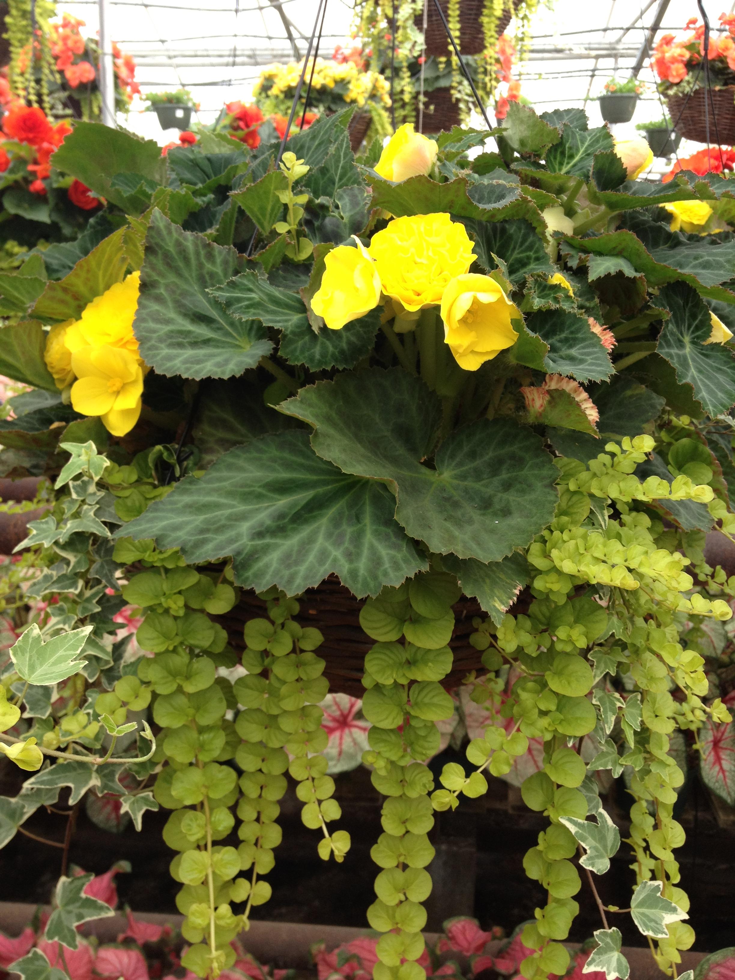 "16"" Nonstop Begonia Grapevine Basket"