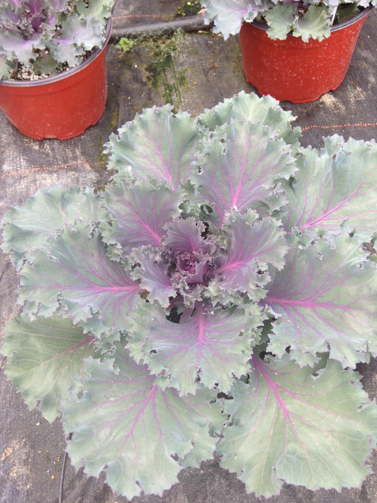 "9"" Purple Kale"