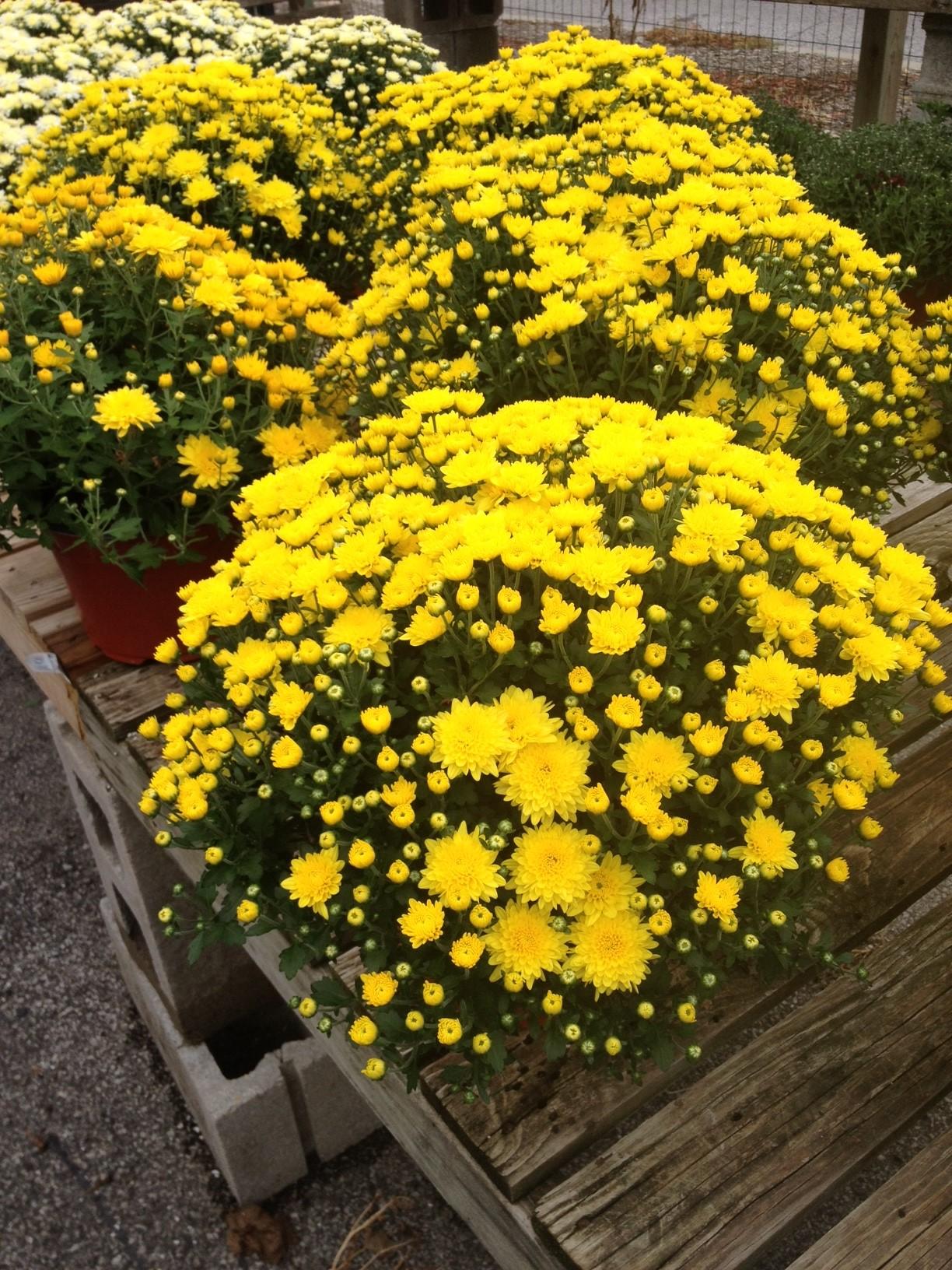 """9"""" Yellow Mum"""