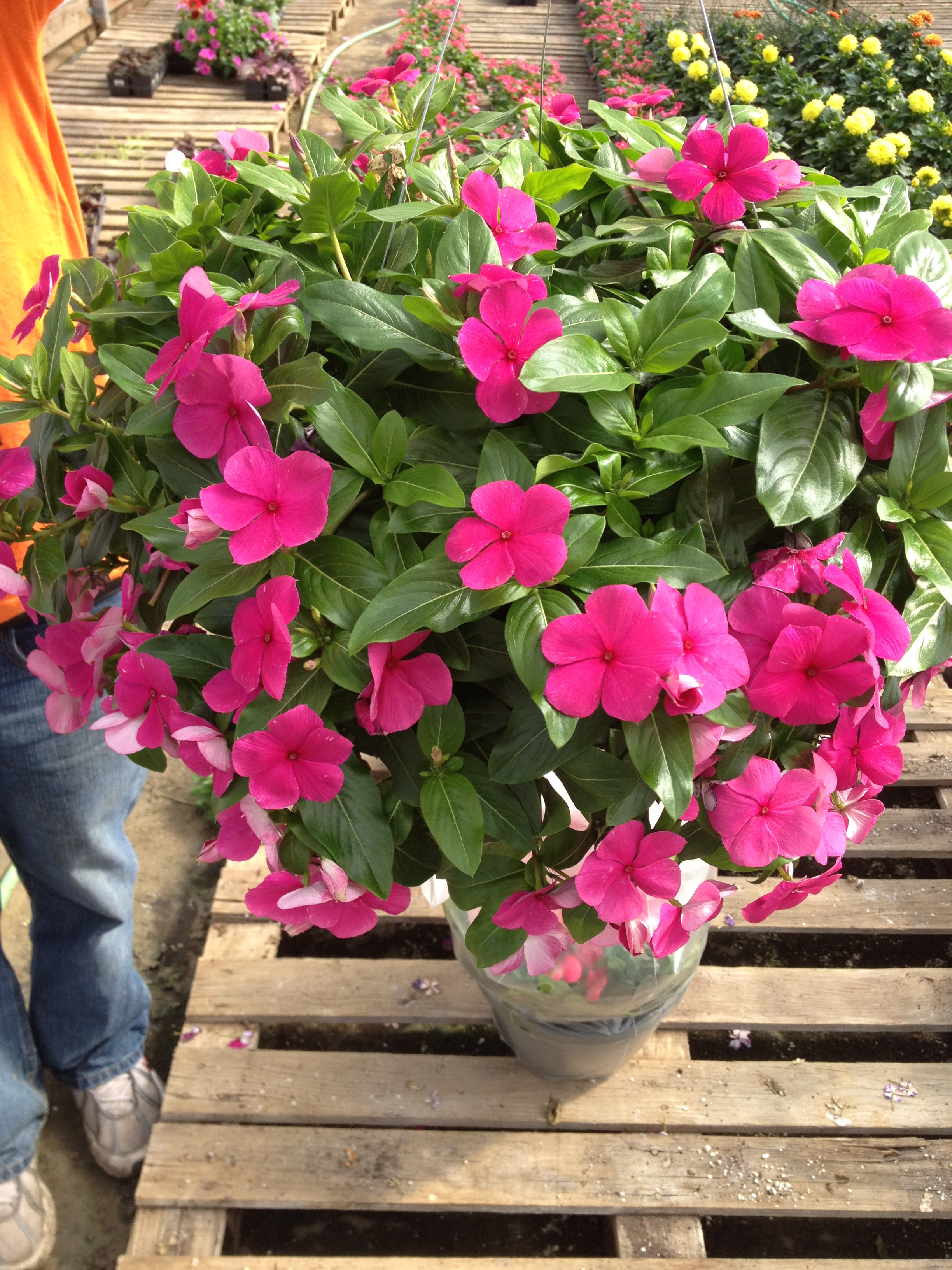 Cascade and Cora vinca are two very popular landscape items. Cascade Vinca has a habit that trails and Cora Vinca is more upright. They both do extremely well during the summer and do best when the temperatures are at their highest. They don't need as much water as an impatient and can tolerate full sun environments.