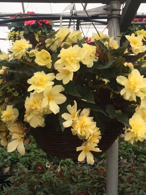 """16"""" Tweedy Pie Begonia Basket"""