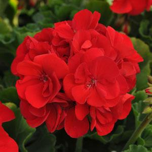 We will customize your order form to a matching cover page with pictures of the flowers you wish to sell. Making your Spring Flower Fundraiser a success! - Zonal Red Geranium