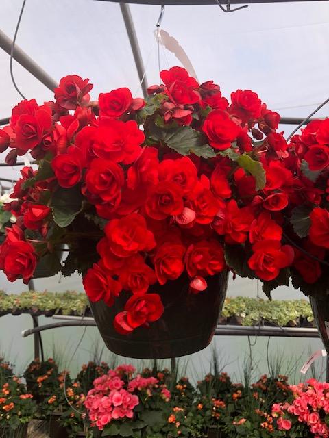 10 HB  Reiger Begonia Red.jpg