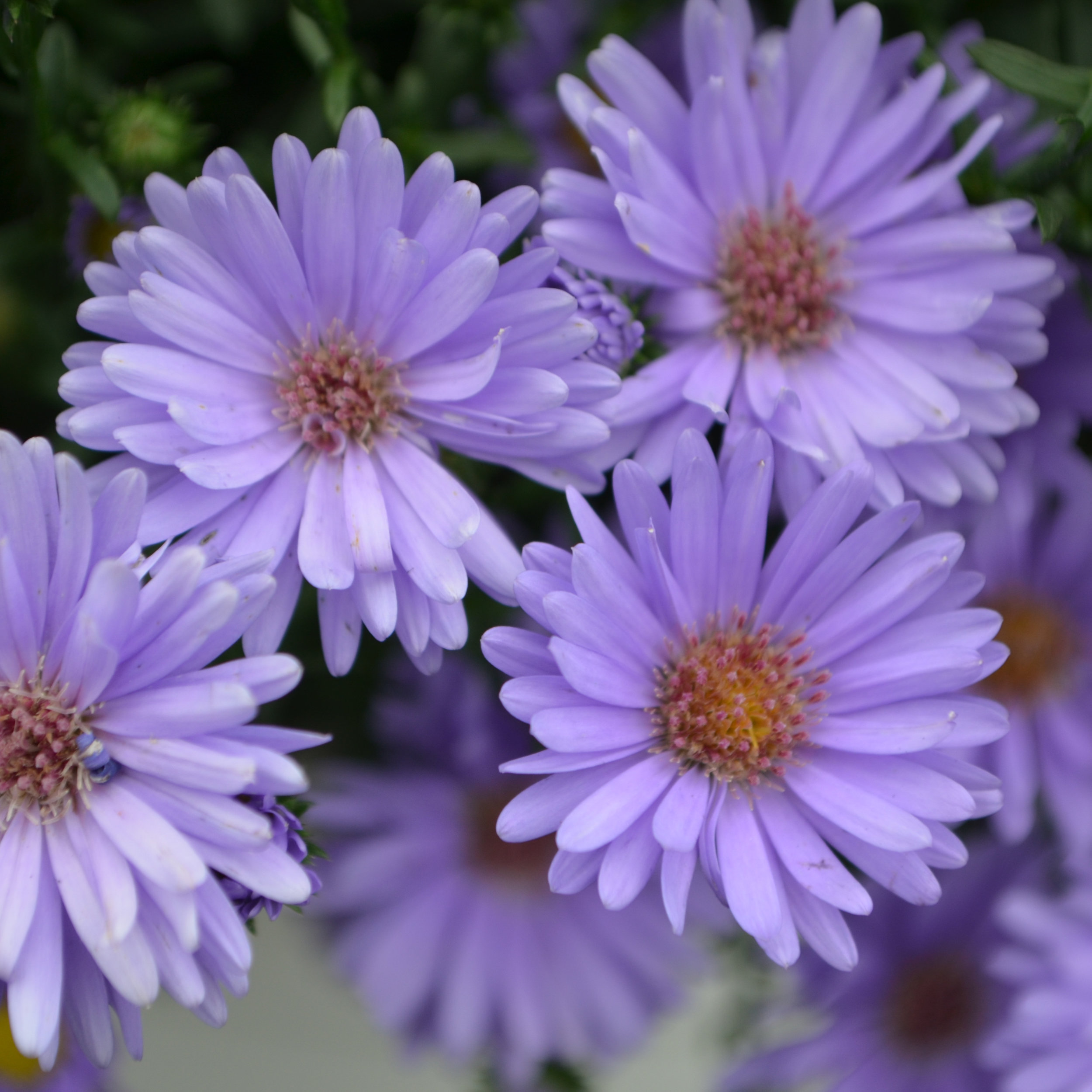 Aster_Days_Blue_Bloom_13085 (1).jpg