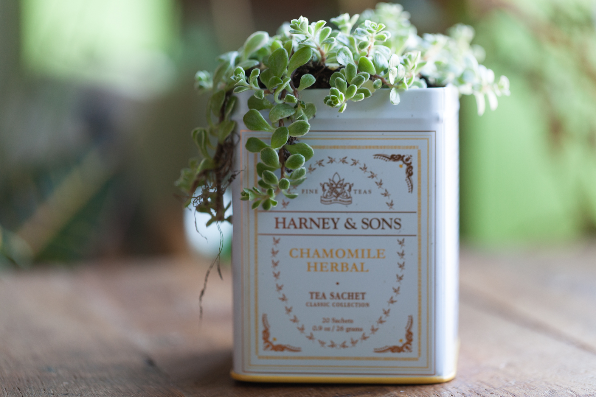 Succulent in a upcycled Harney & Sons tea canister.