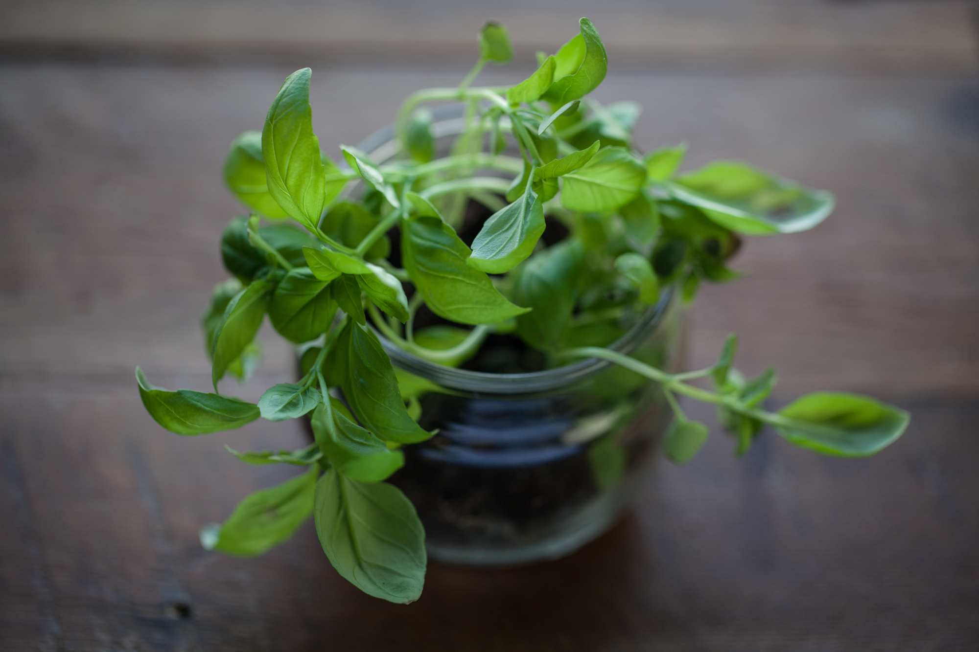 Microgreen basil growing in an upcycled yogurt container.