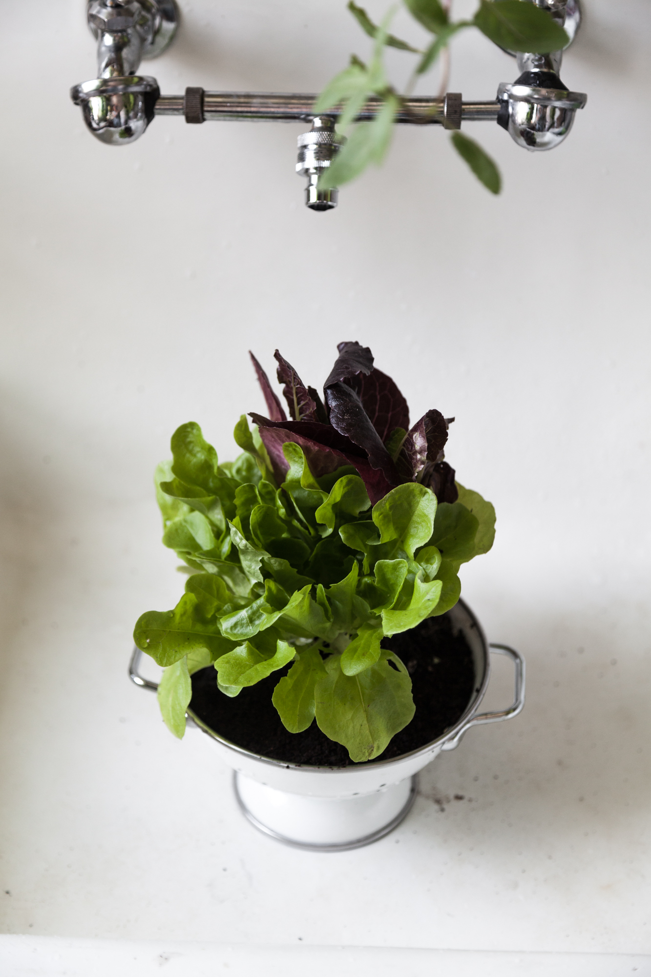 You never have to worry about wet roots in a colander planter, since it has natural drainage. Just pop the colander right in your sink and give it a good drenching. It both washes your salad green leaves and waters the plant.