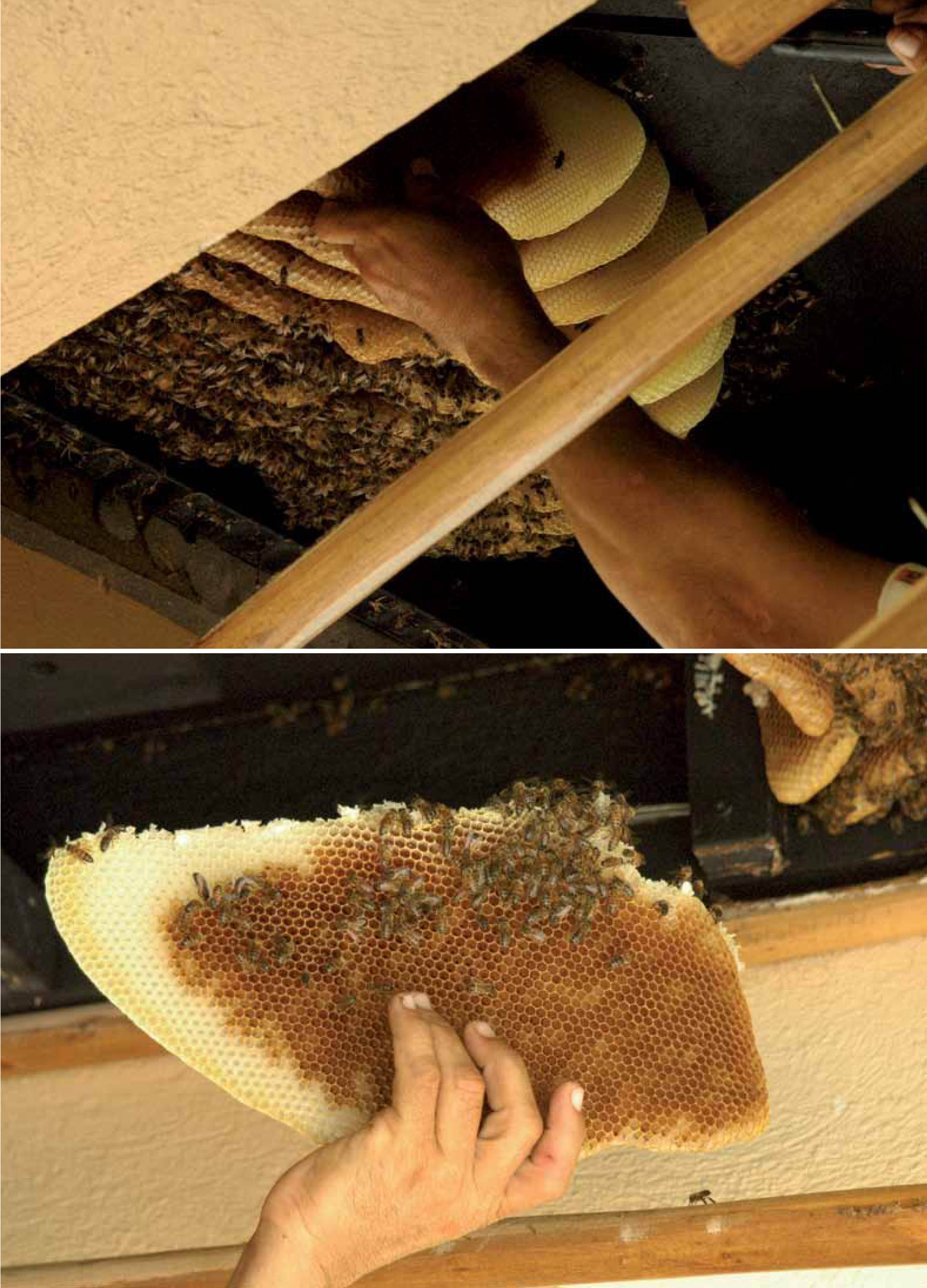 Rubio masterfully removes honeycomb from the bees that inadvertently invade some homes in Puntacana Resort in the Dominican Republic. Photo: Jake Kheel.